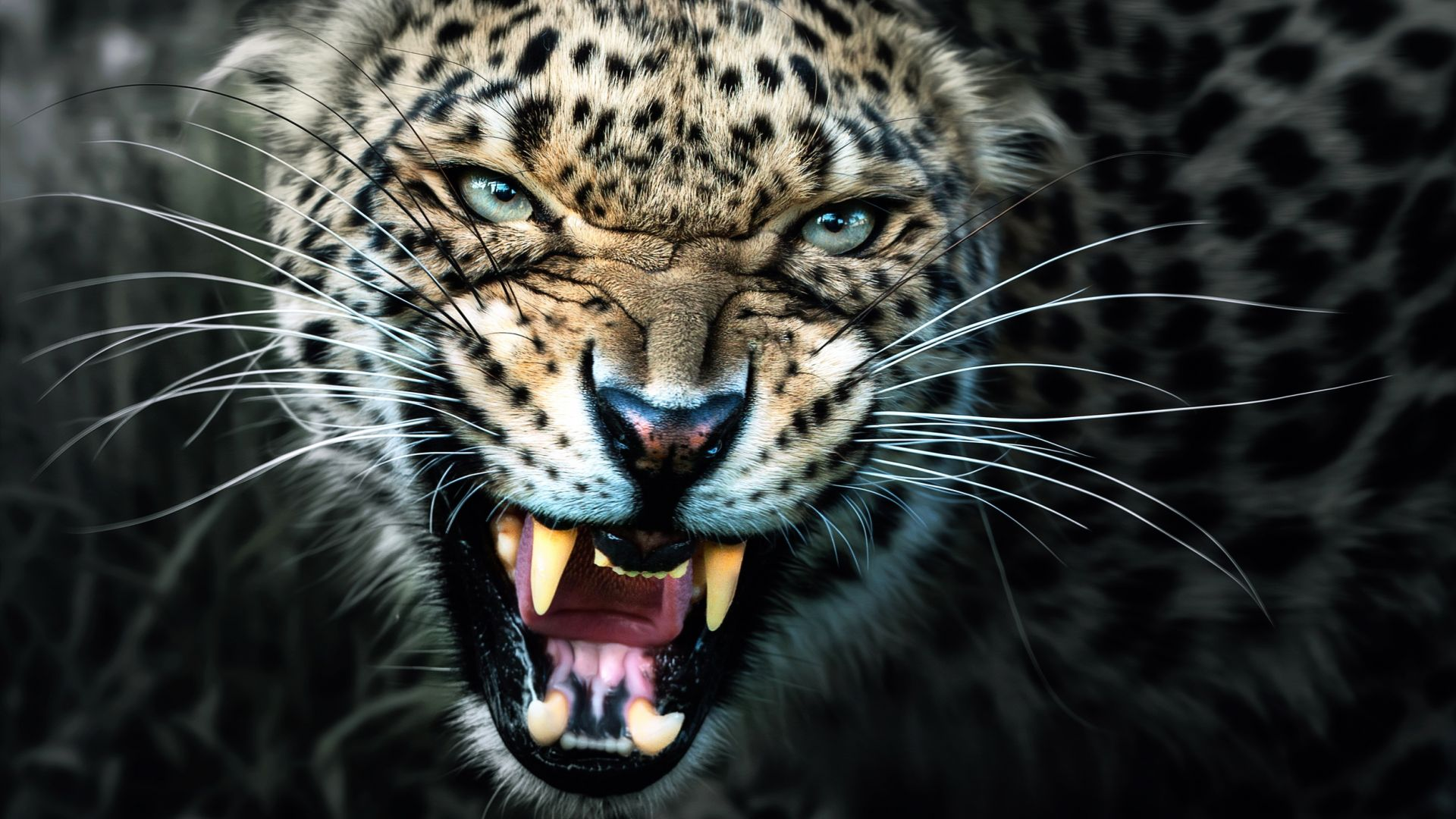Wallpaper Angry leopard muzzle, wild animal