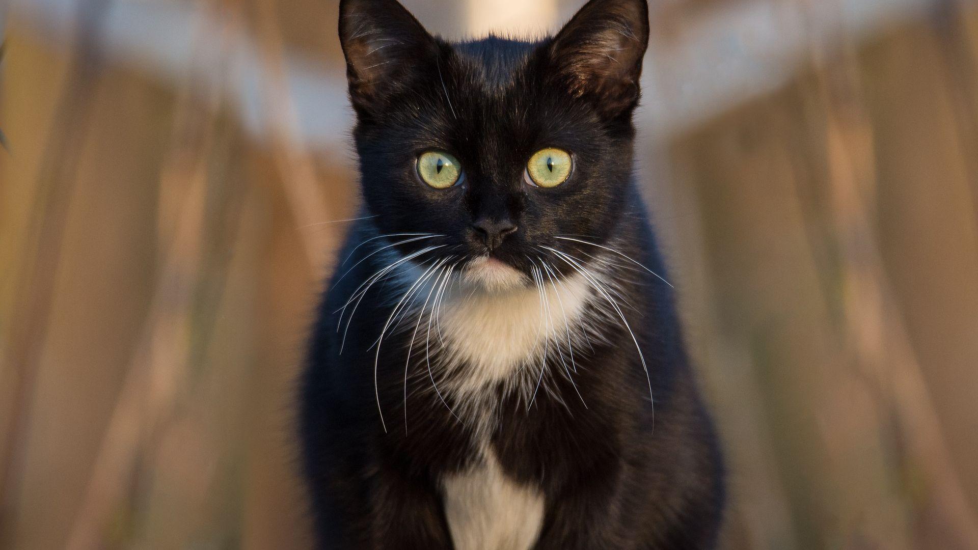 black cat animal star