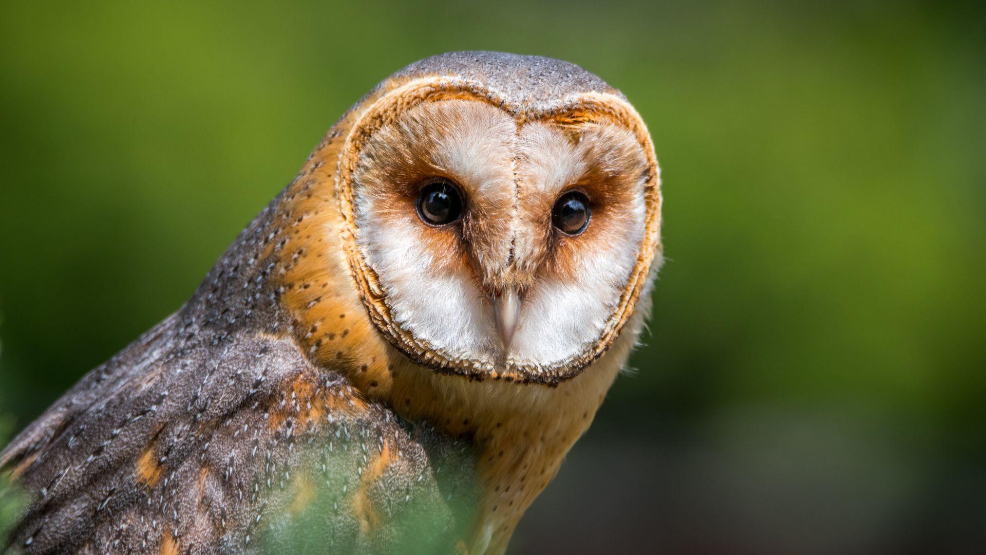 Wallpaper Barn owl, bird, muzzle, predator