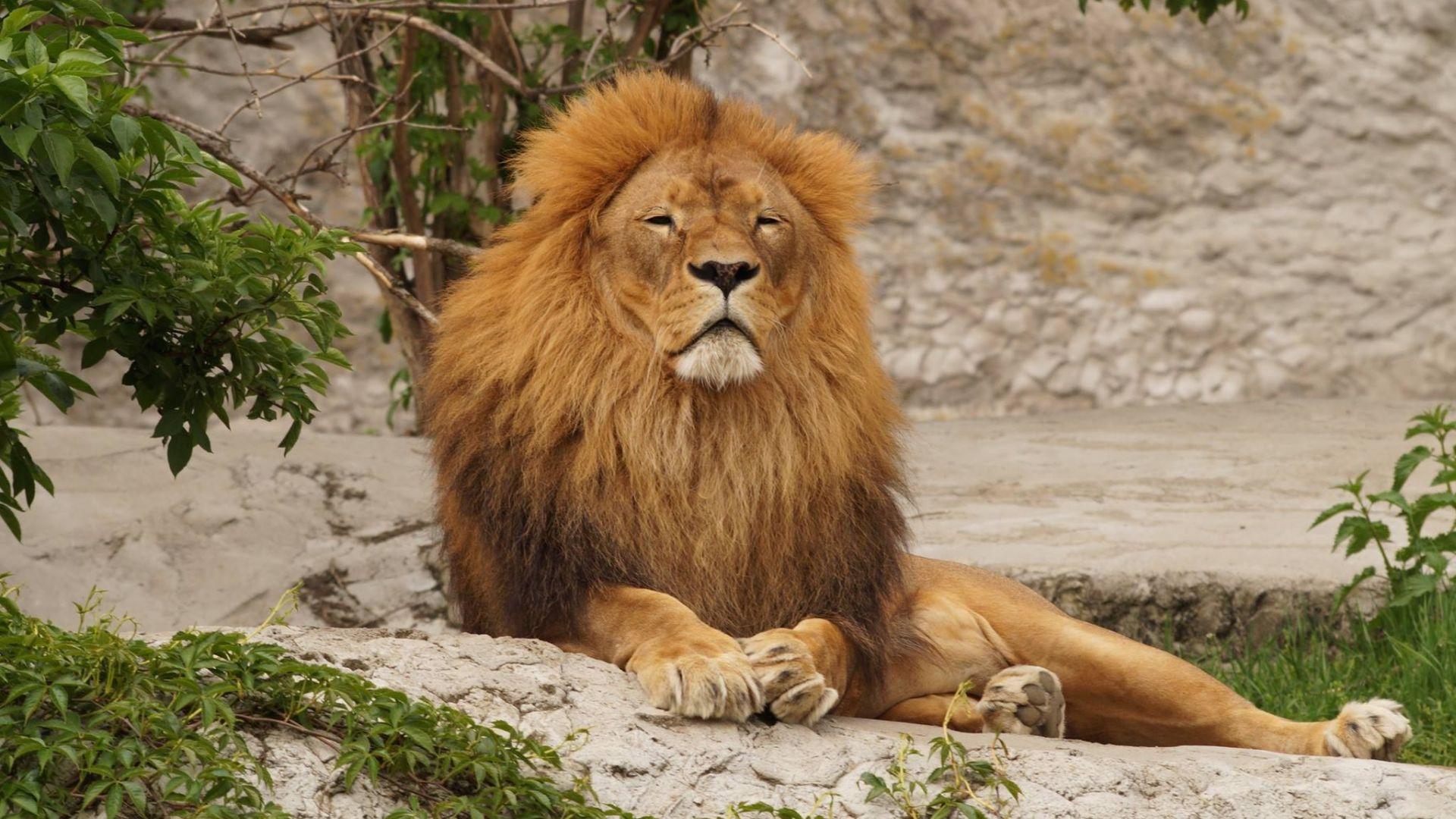 Desktop Wallpaper Mighty Beast, Predator, Lion, Animal, Hd Image ...