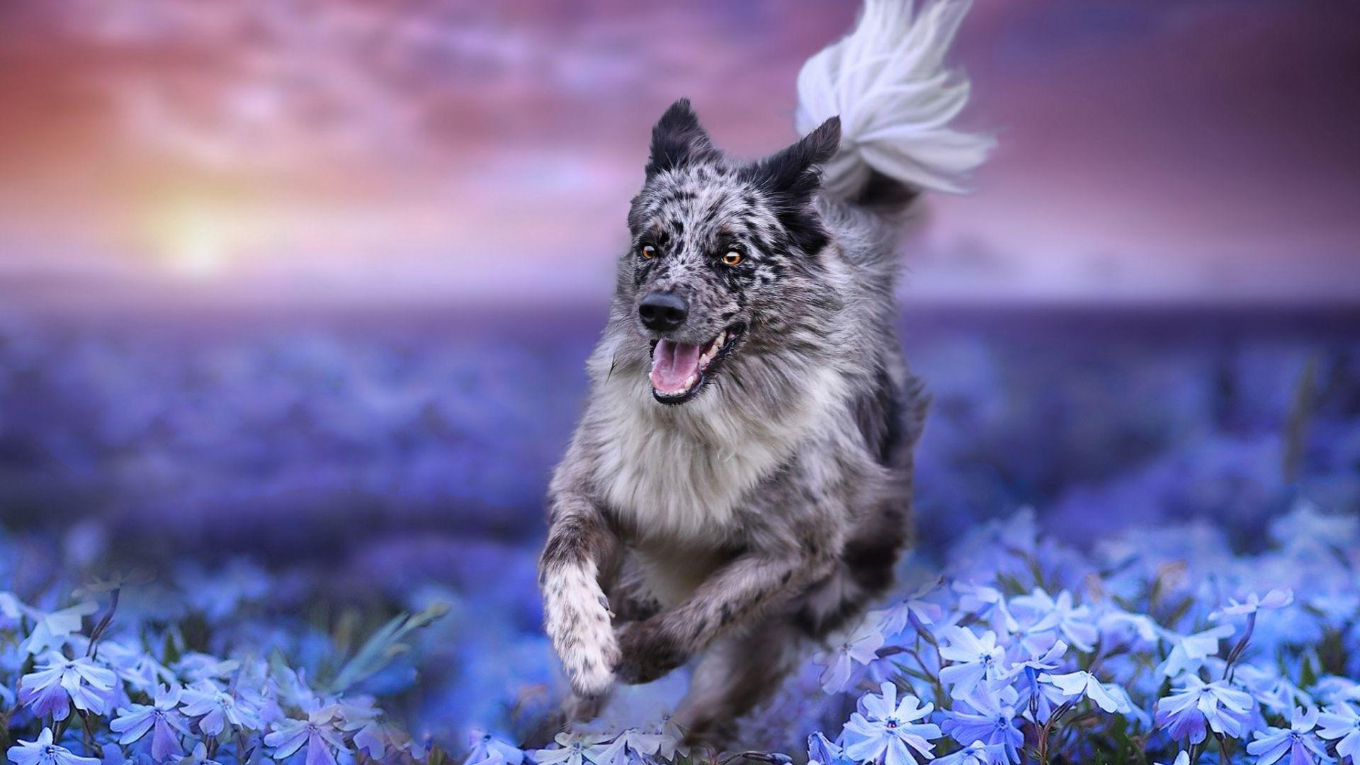 Wallpaper Border collie, dog, run, meadow
