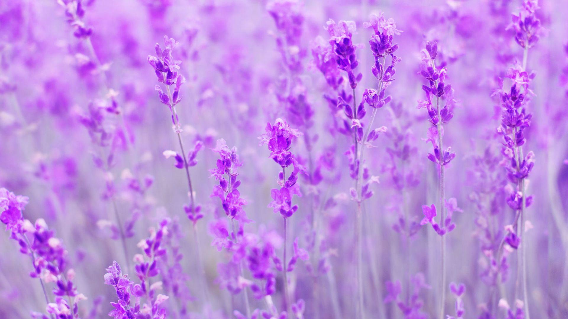 Wallpaper Spring, purple flowers, meadow