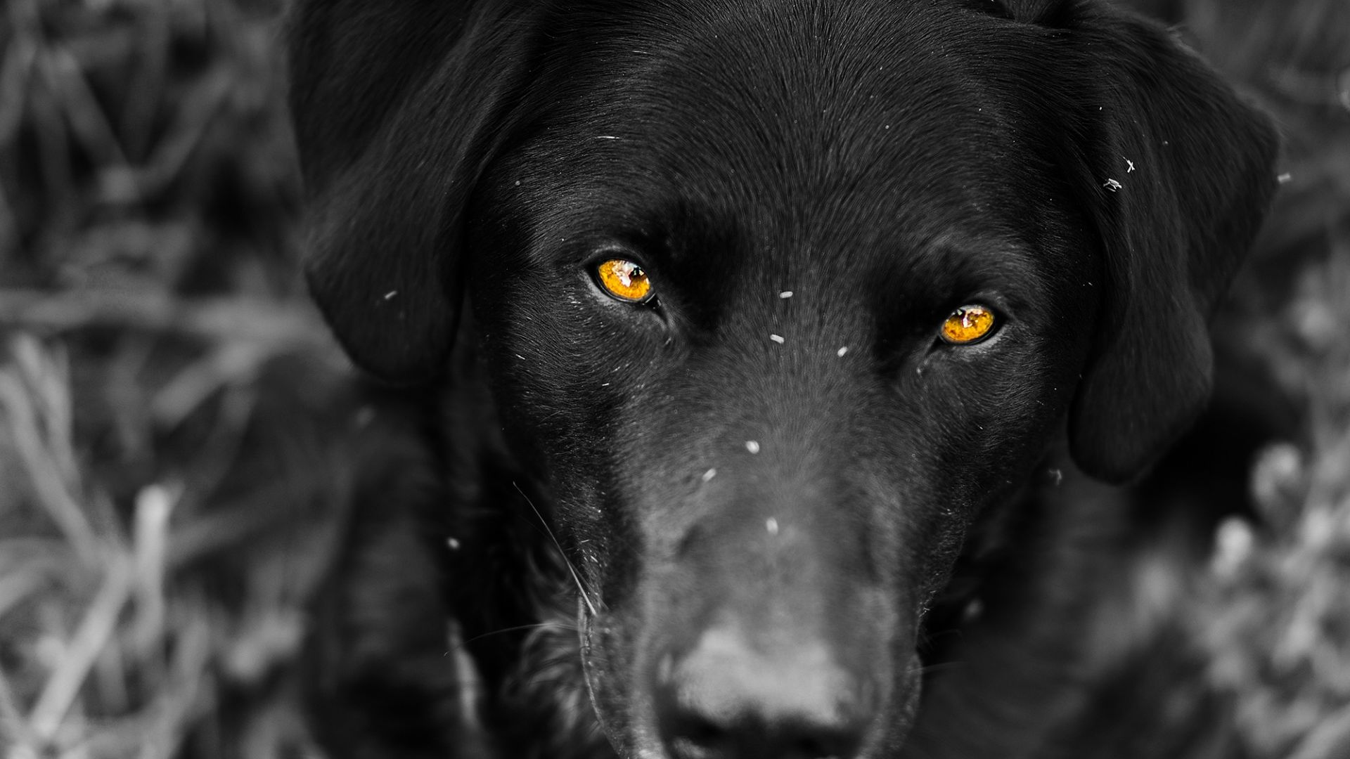 desktop wallpaper black labrador dog muzzle yellow eyes