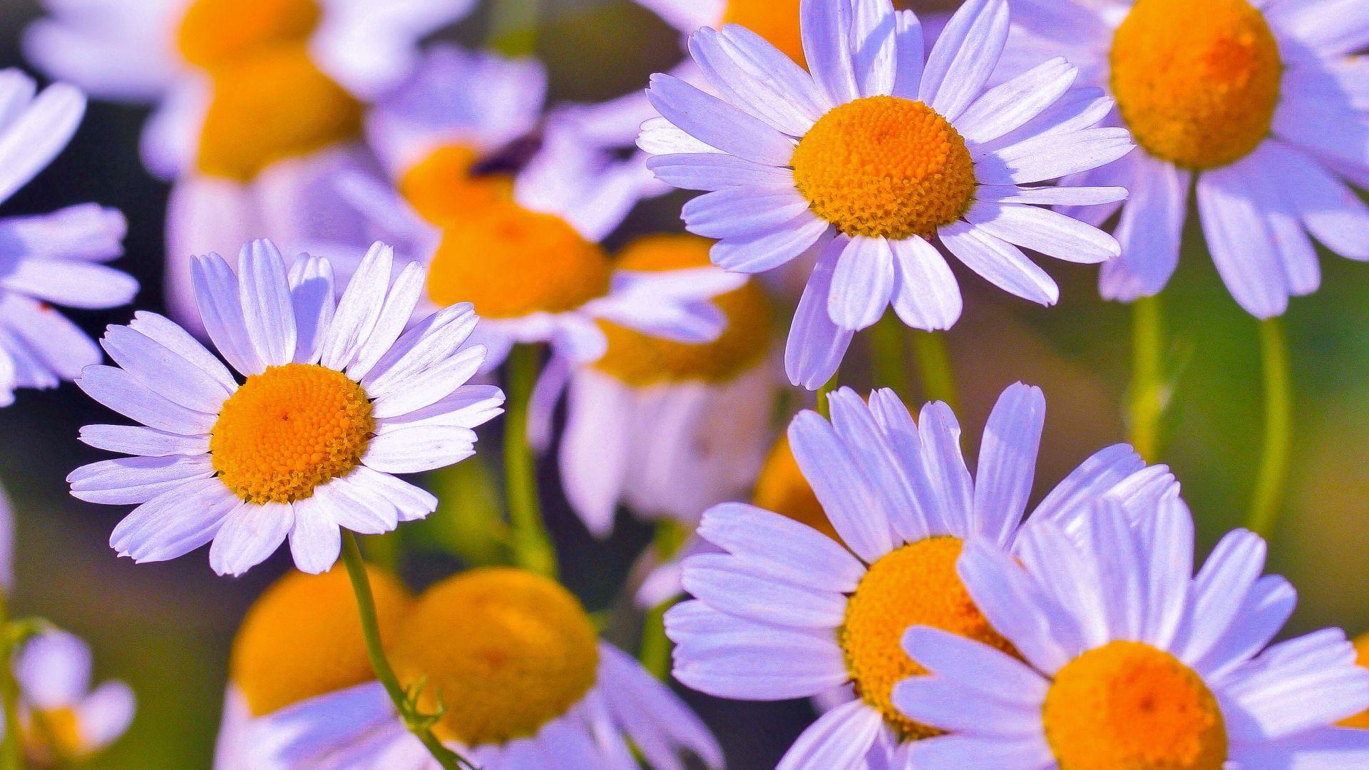 Wallpaper White daisies flowers