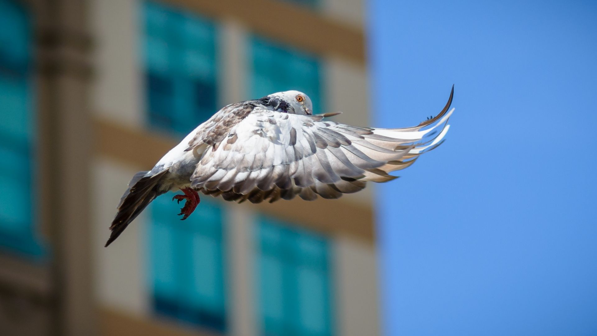 Wallpaper Dove, bird, fly, wings