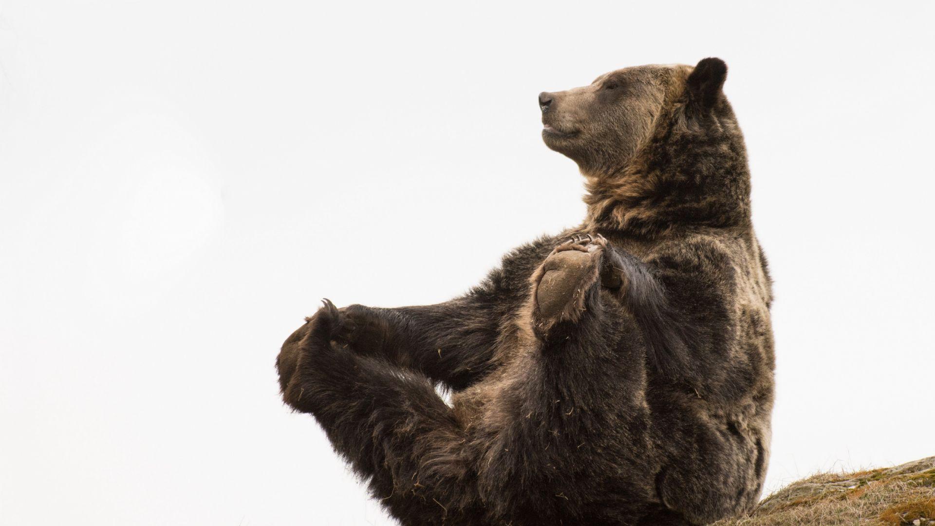 Wallpaper Bear, predator, wild animal