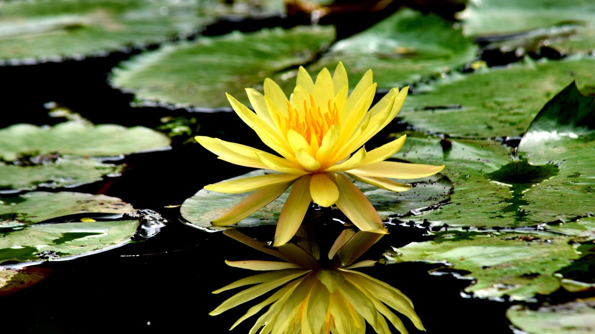 Wallpaper Reflections, yellow flower, water lily, lake, 4k