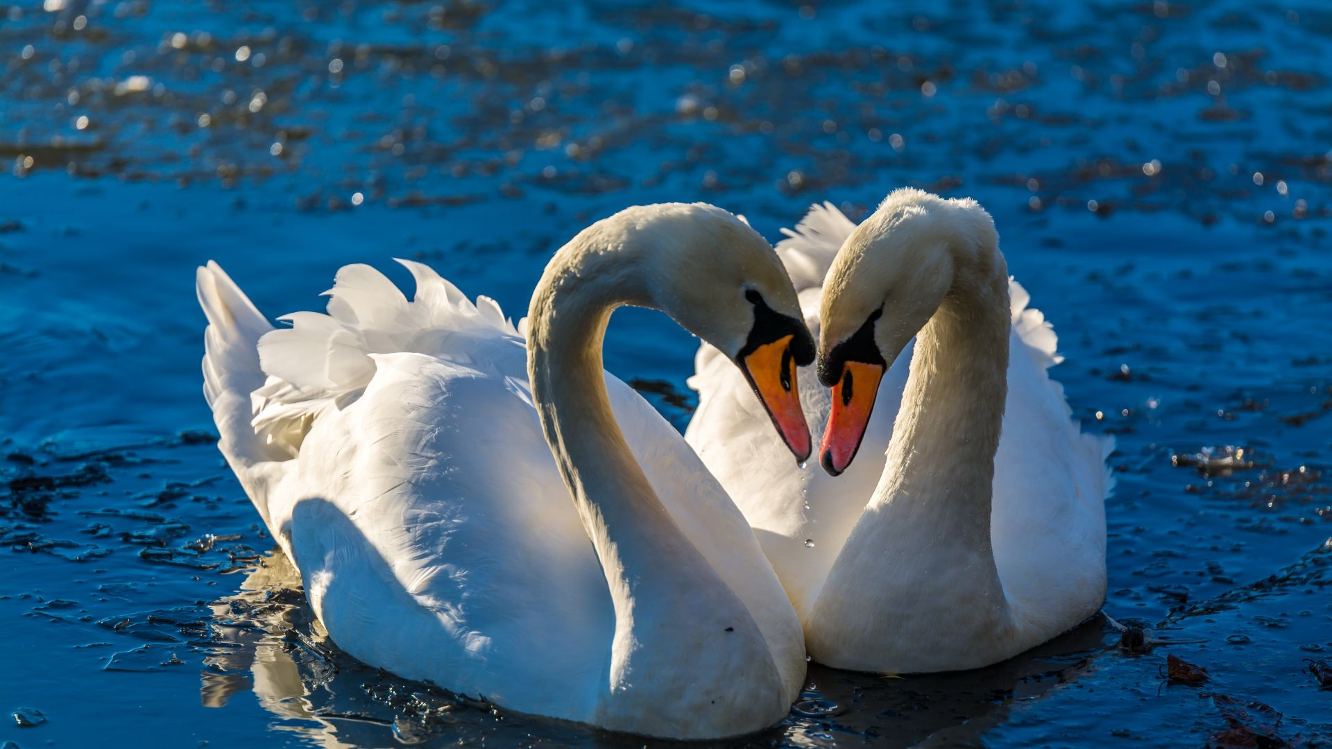 Wallpaper Swan pairs, birds, swim, love