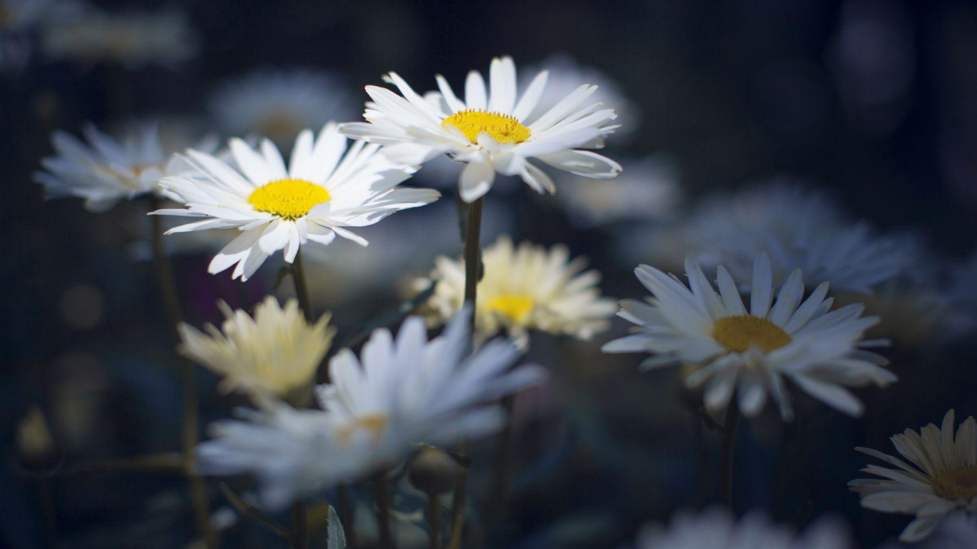 Wallpaper White daisies, flowers, meadow, 4k