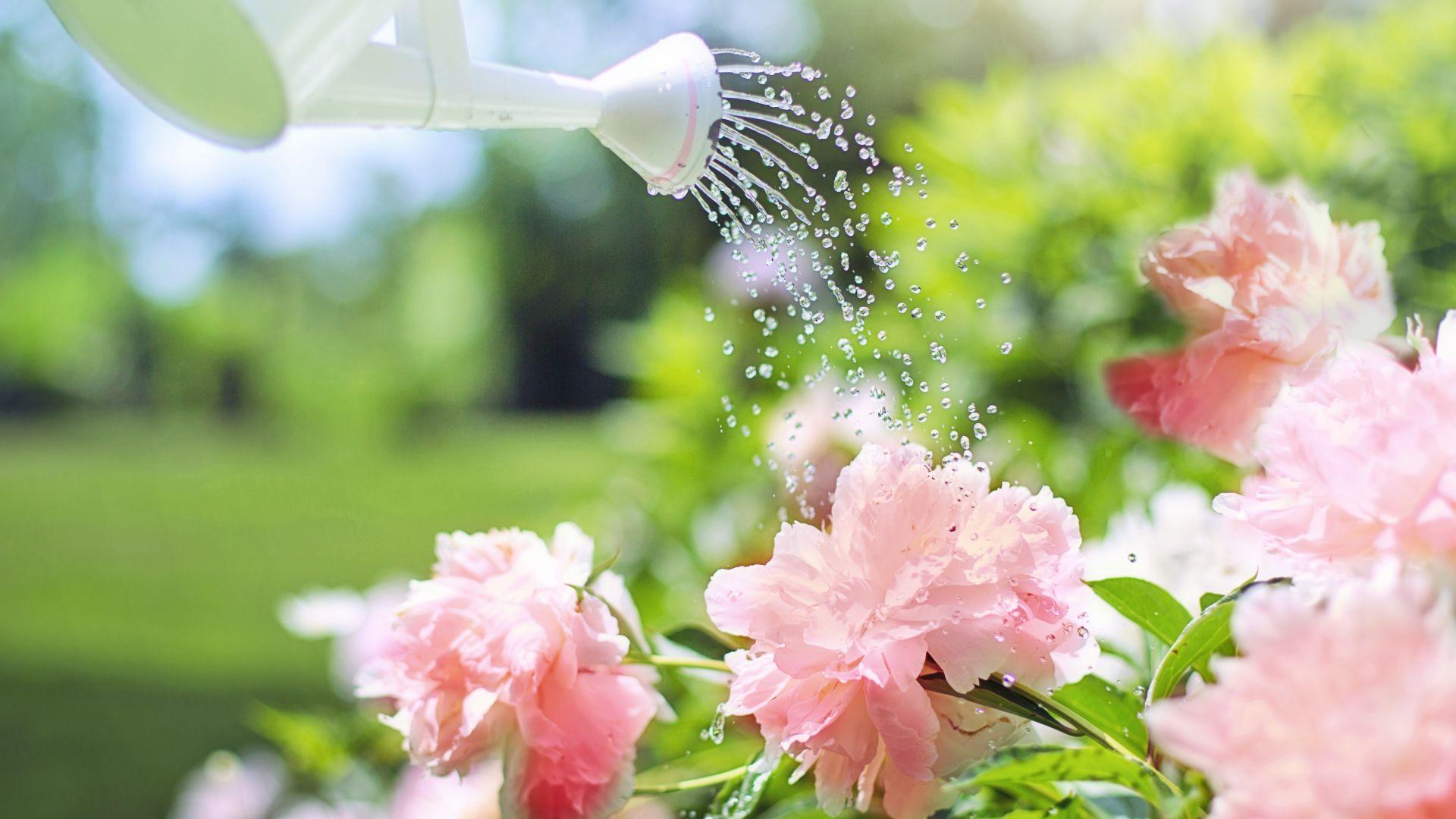 Wallpaper Watering flowers, pink flowers, garden, water