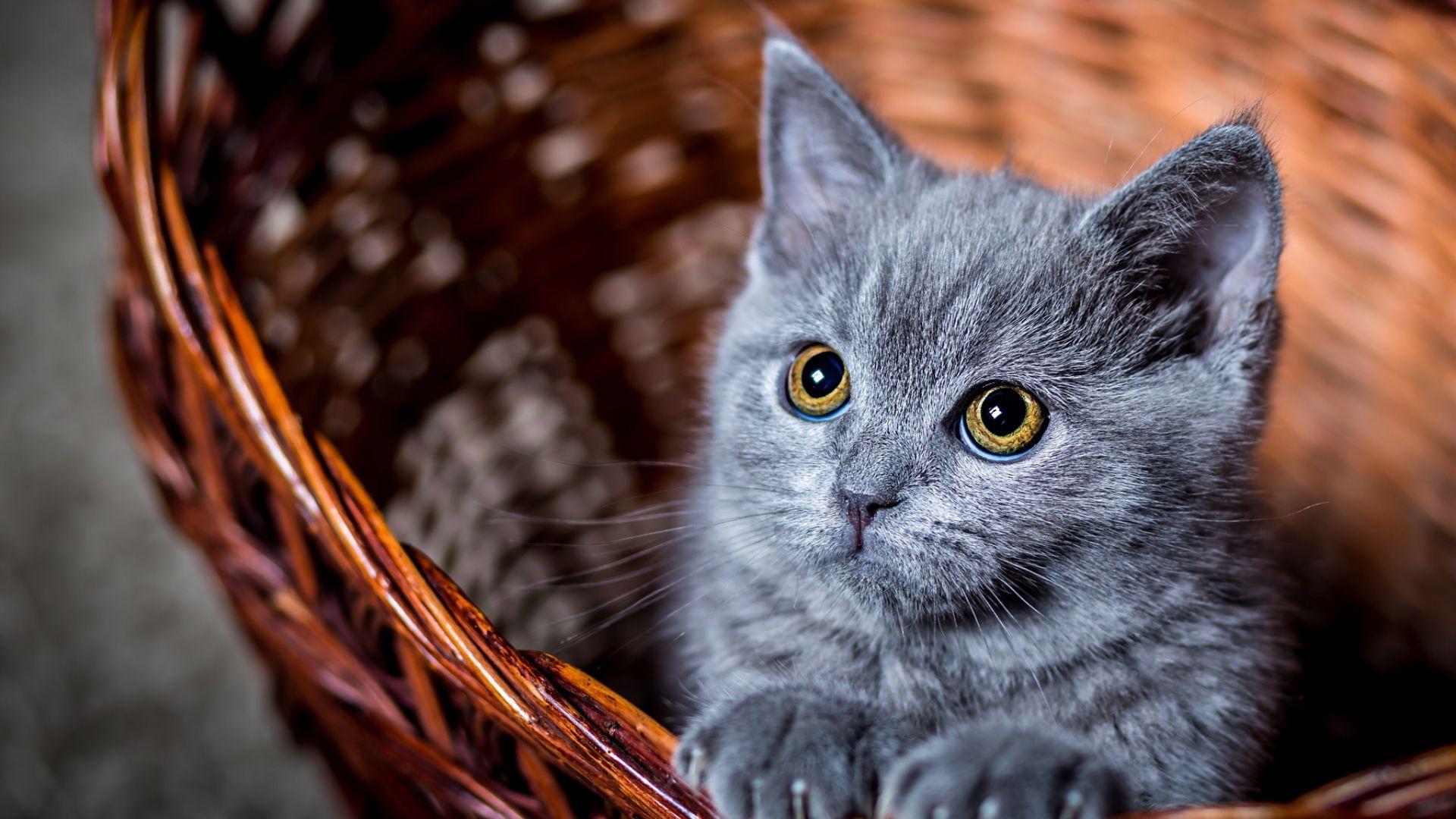Wallpaper Kitten in basket, baby animal