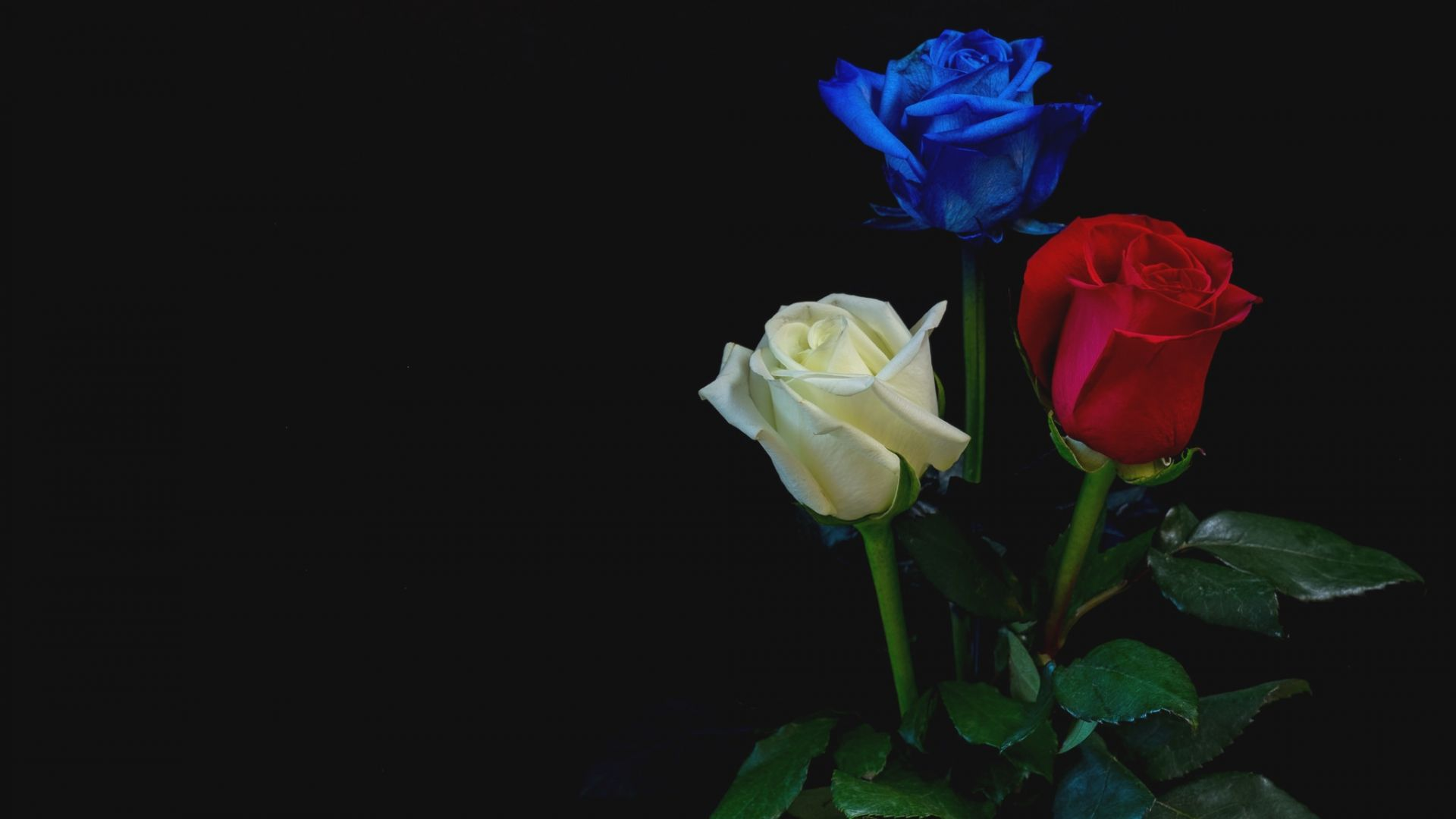 Desktop Wallpaper Blue Red White Roses Flowers Hd Image Picture