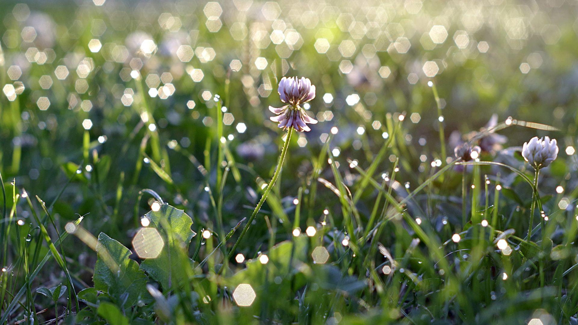 Wallpaper Primrose plants, flower, bokeh, grass
