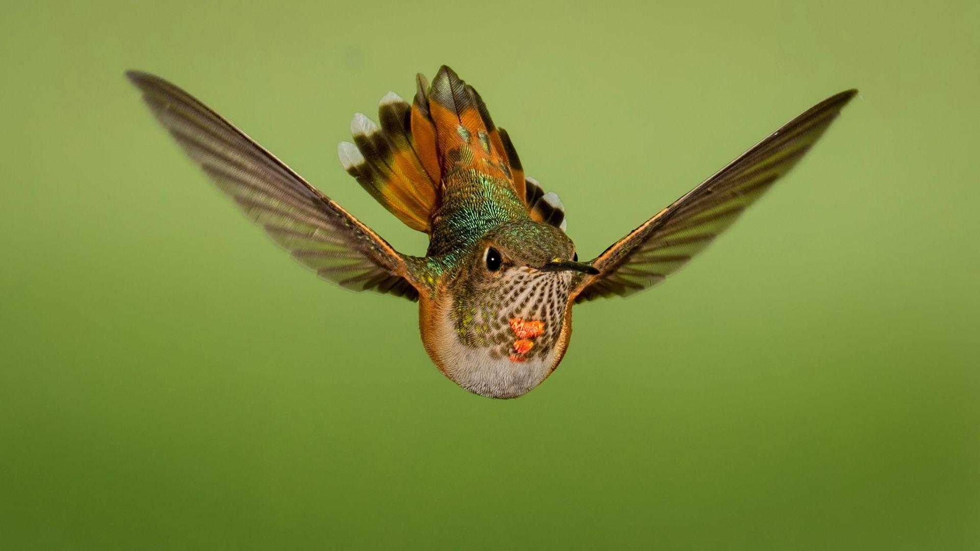 Wallpaper Flight, close up, hummingbird