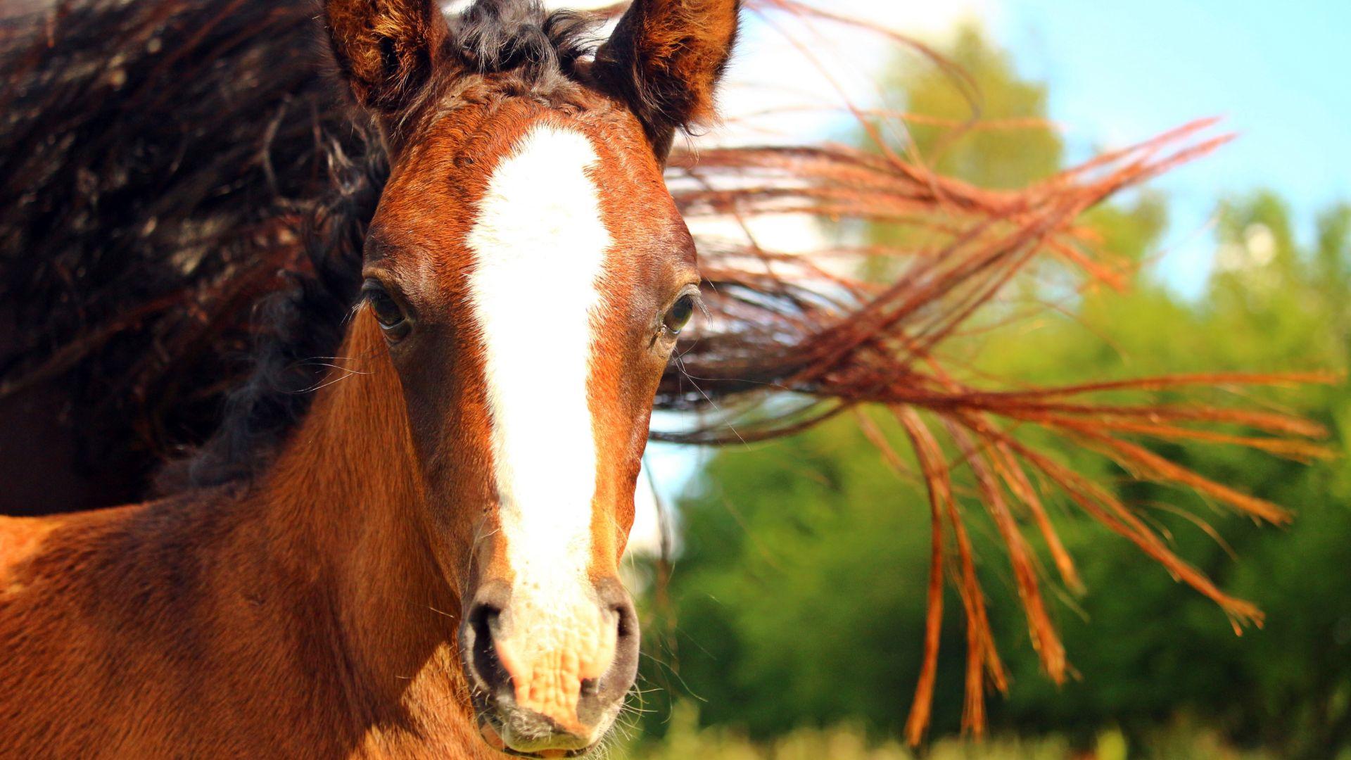 Brown horse, head, muzzle, animal