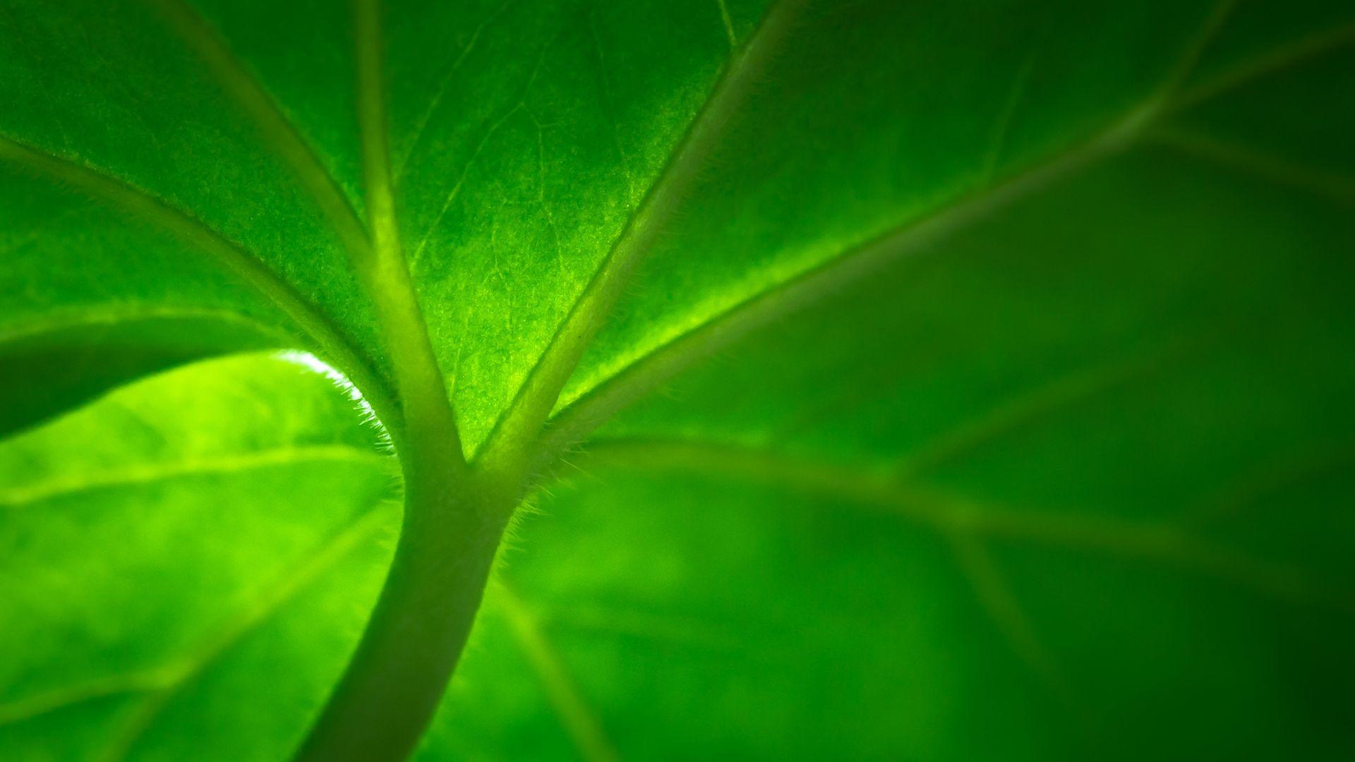 Wallpaper Green leaf, veins, macro