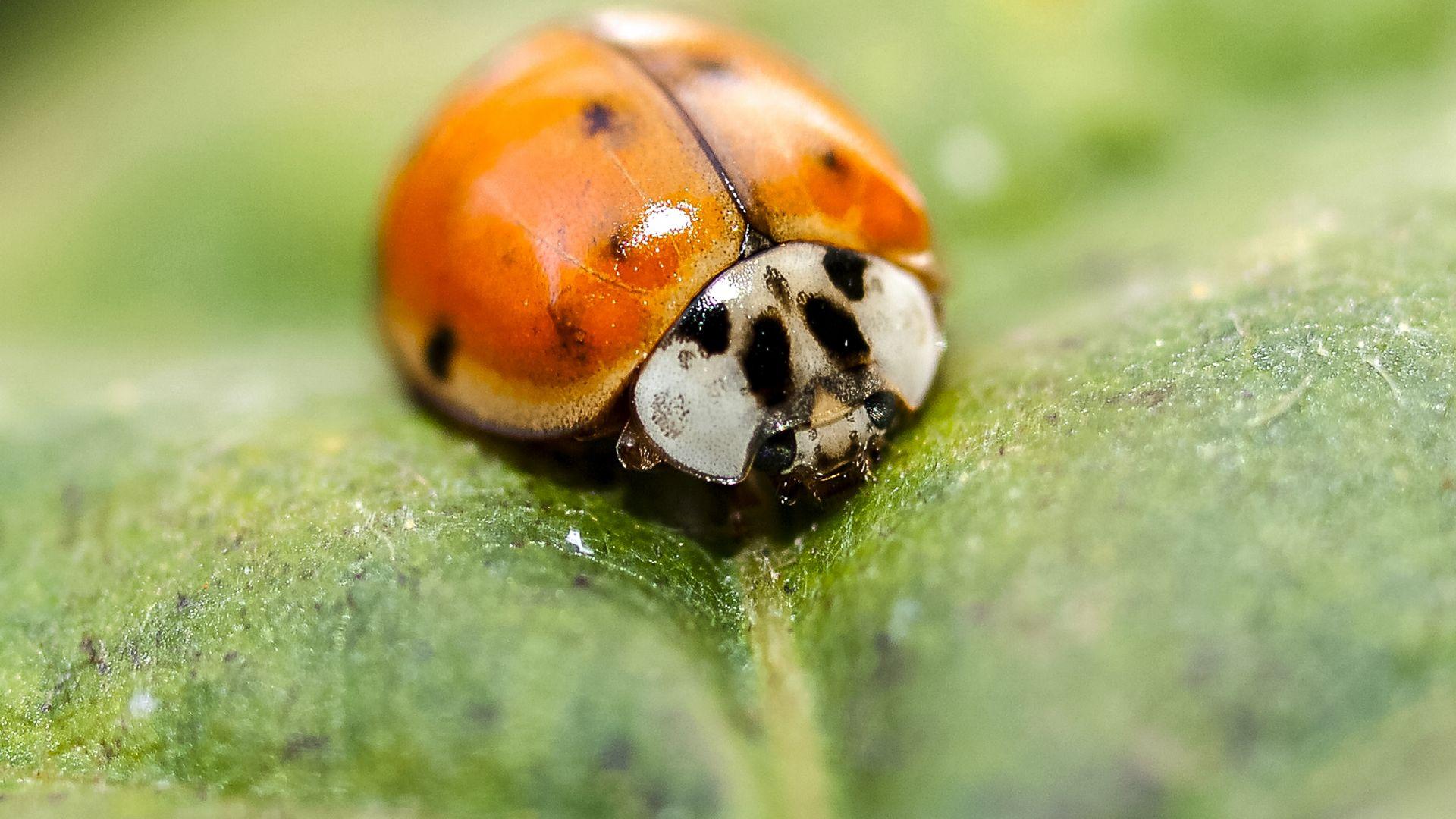 Wallpaper Ladybug, insect, leaf, macro