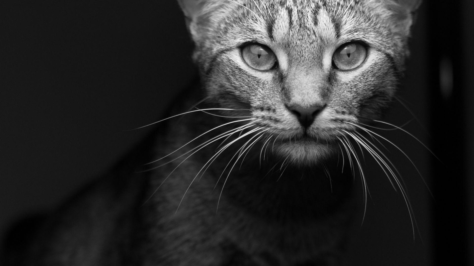 Wallpaper Cat animal muzzle, monochrome
