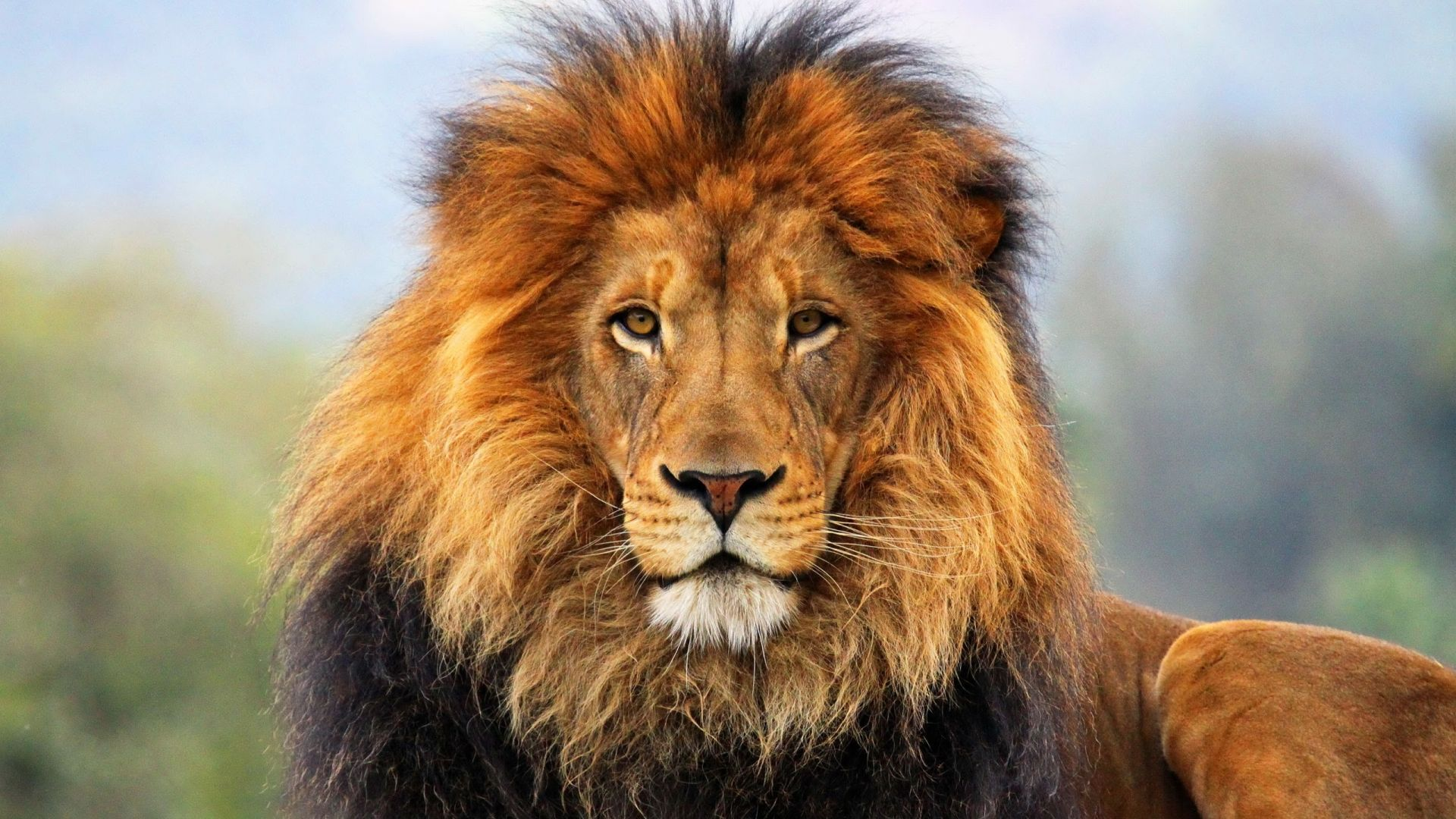 Wallpaper Calm Lion animal