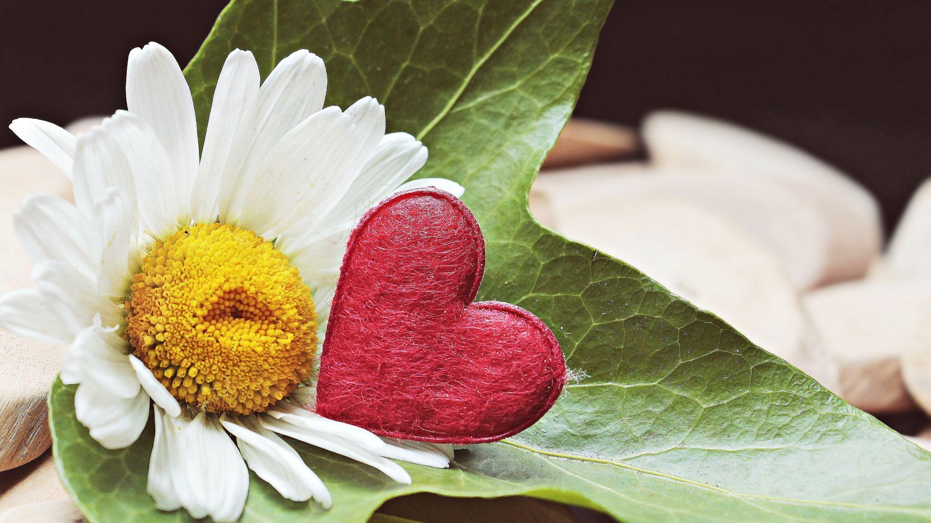 Wallpaper Marguerite, daisy white, heart, flowers