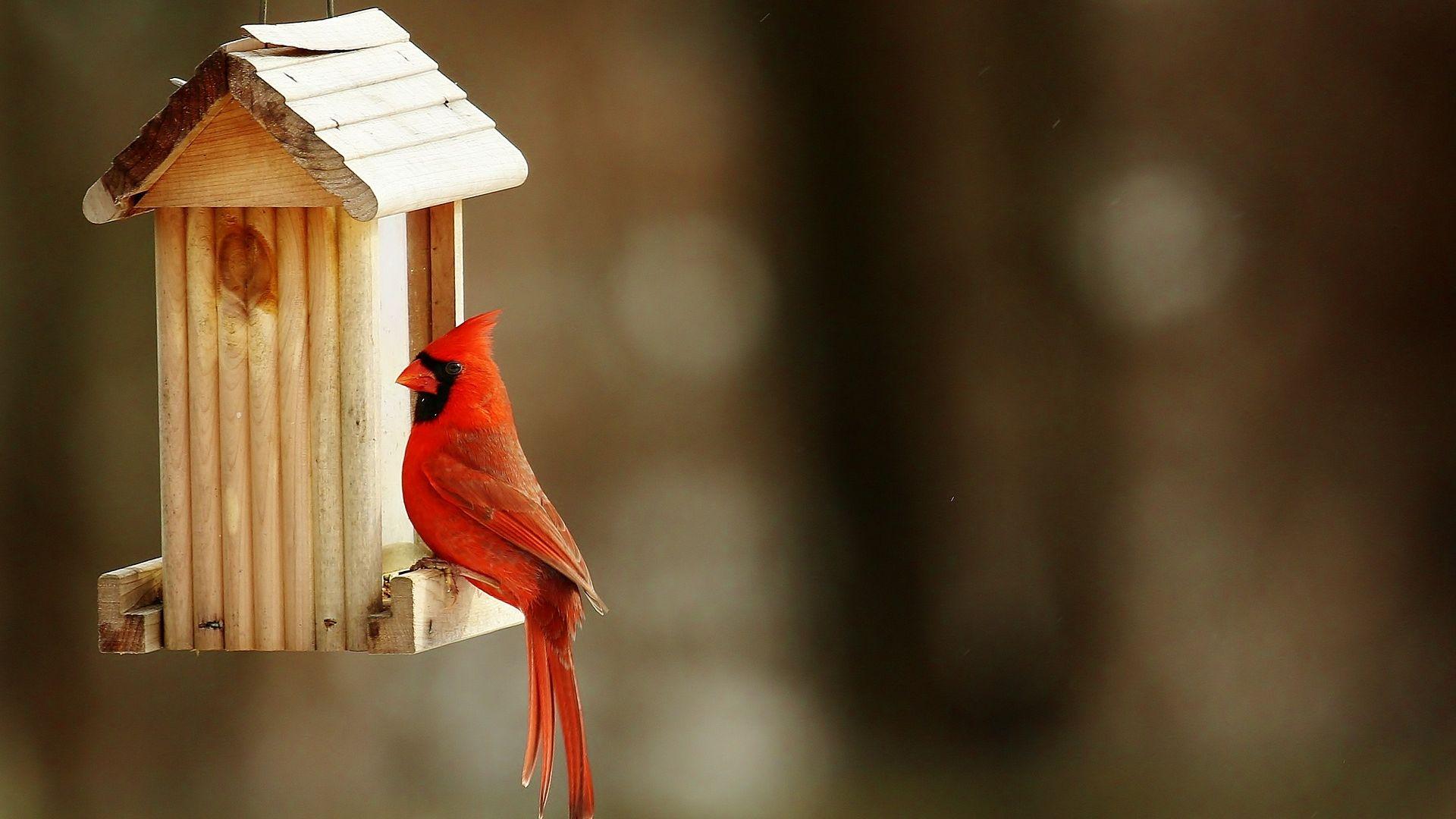 Wallpaper Cardinal bird, red bird, birdhouse