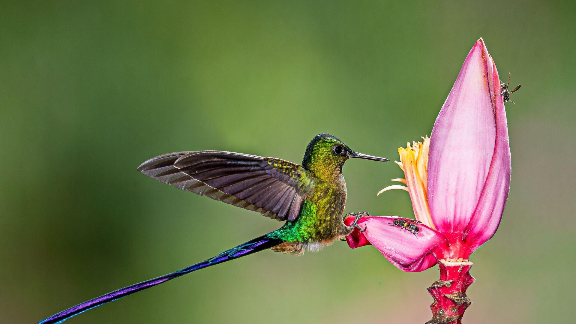 Desktop Wallpaper Hummingbird Long Tail Bird Flower Hd