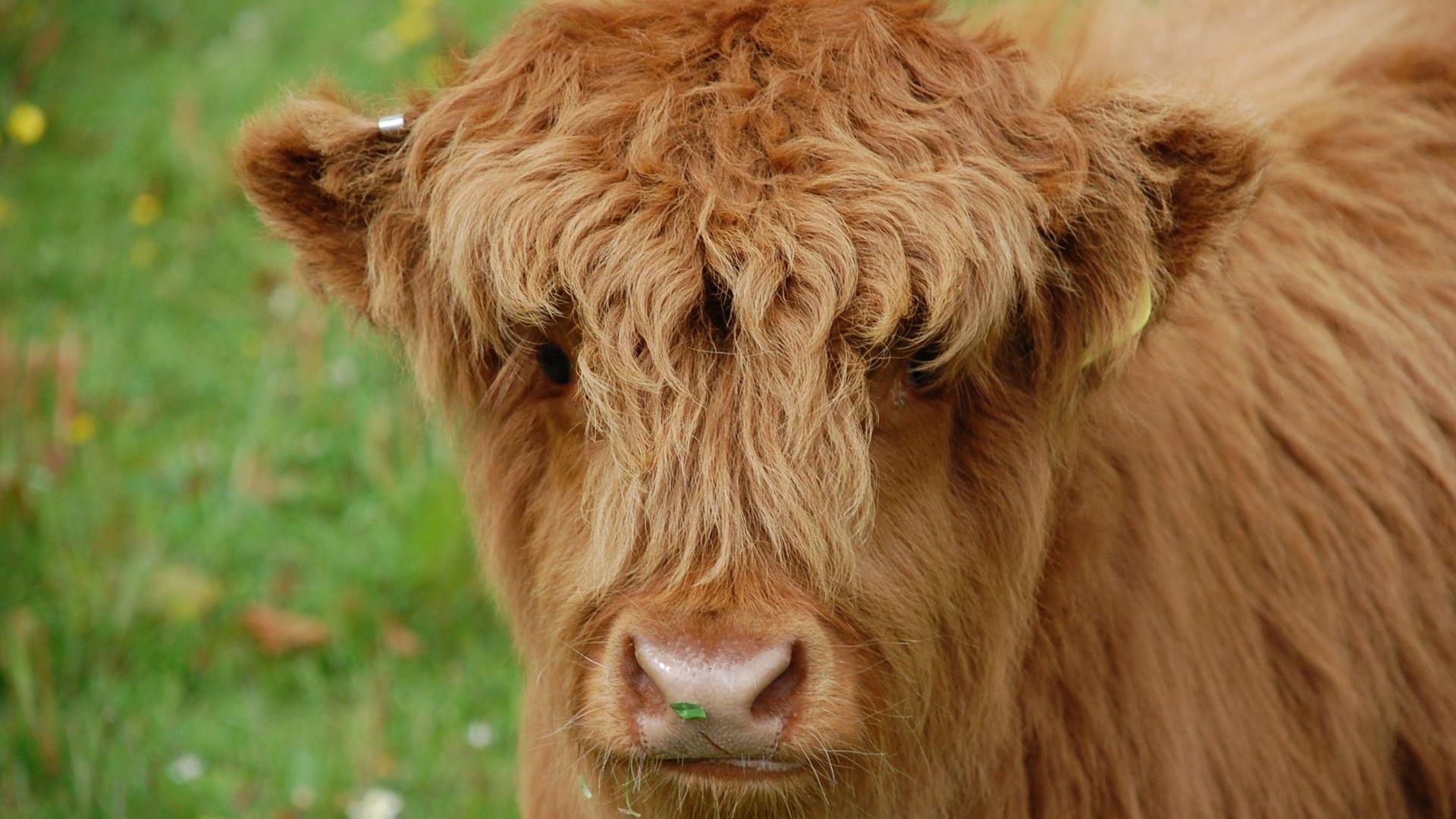 Wallpaper Cow, calf, cattle, domestic animal