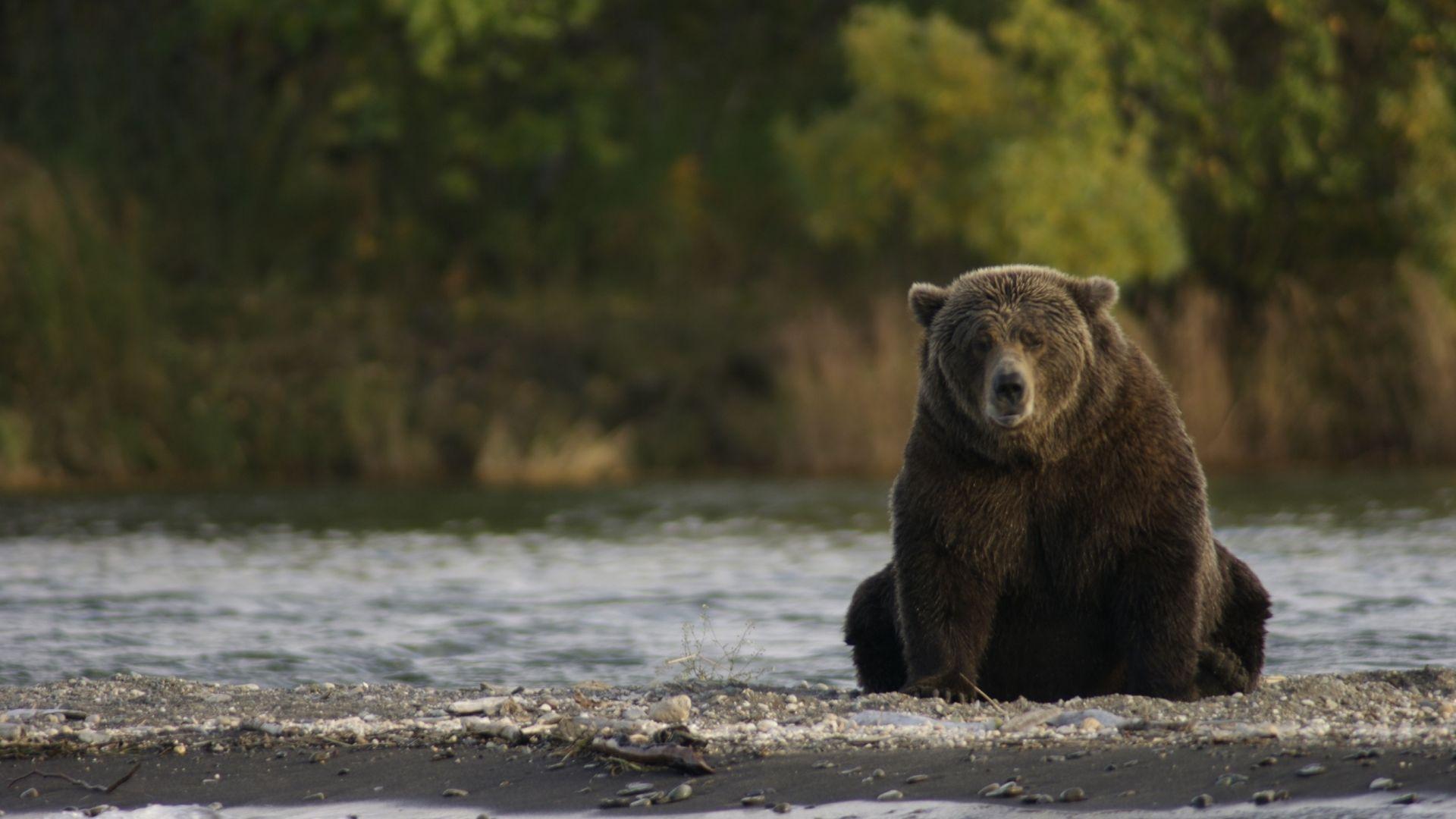 Wallpaper Bear, wild animal, predator, sitting, wildlife