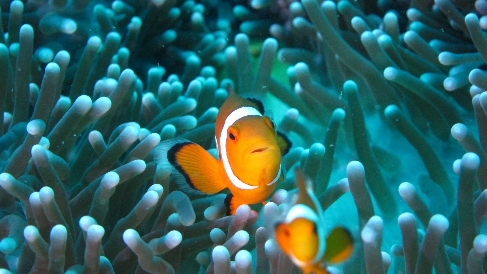 Wallpaper Clownfish, underwater, fish, aquarium