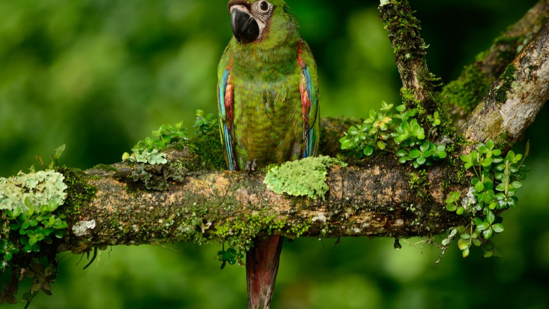 Wallpaper Green macaw, bird, tree branch, parrot