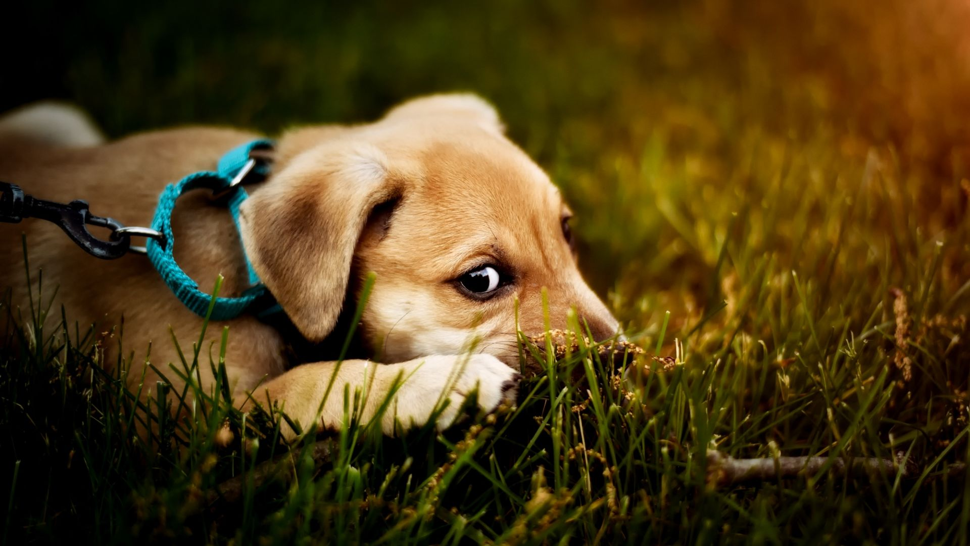 Wallpaper Blue collar, dog, puppy, amazed, grass