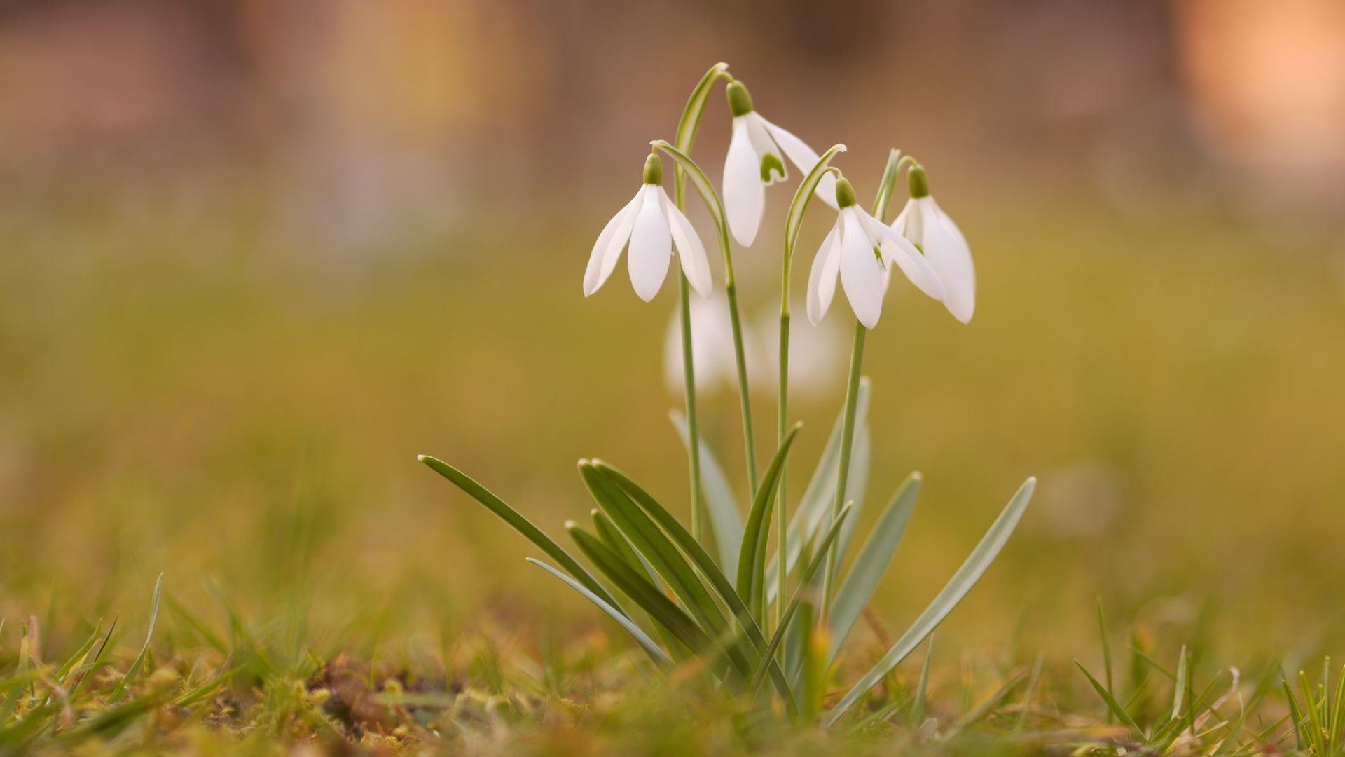 Snowdrop plants, spring, white flower, grass