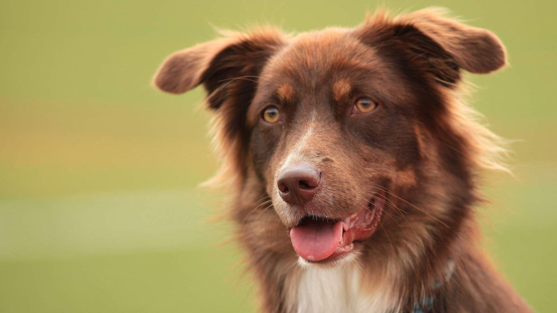 Wallpaper Aussie shepherd dog