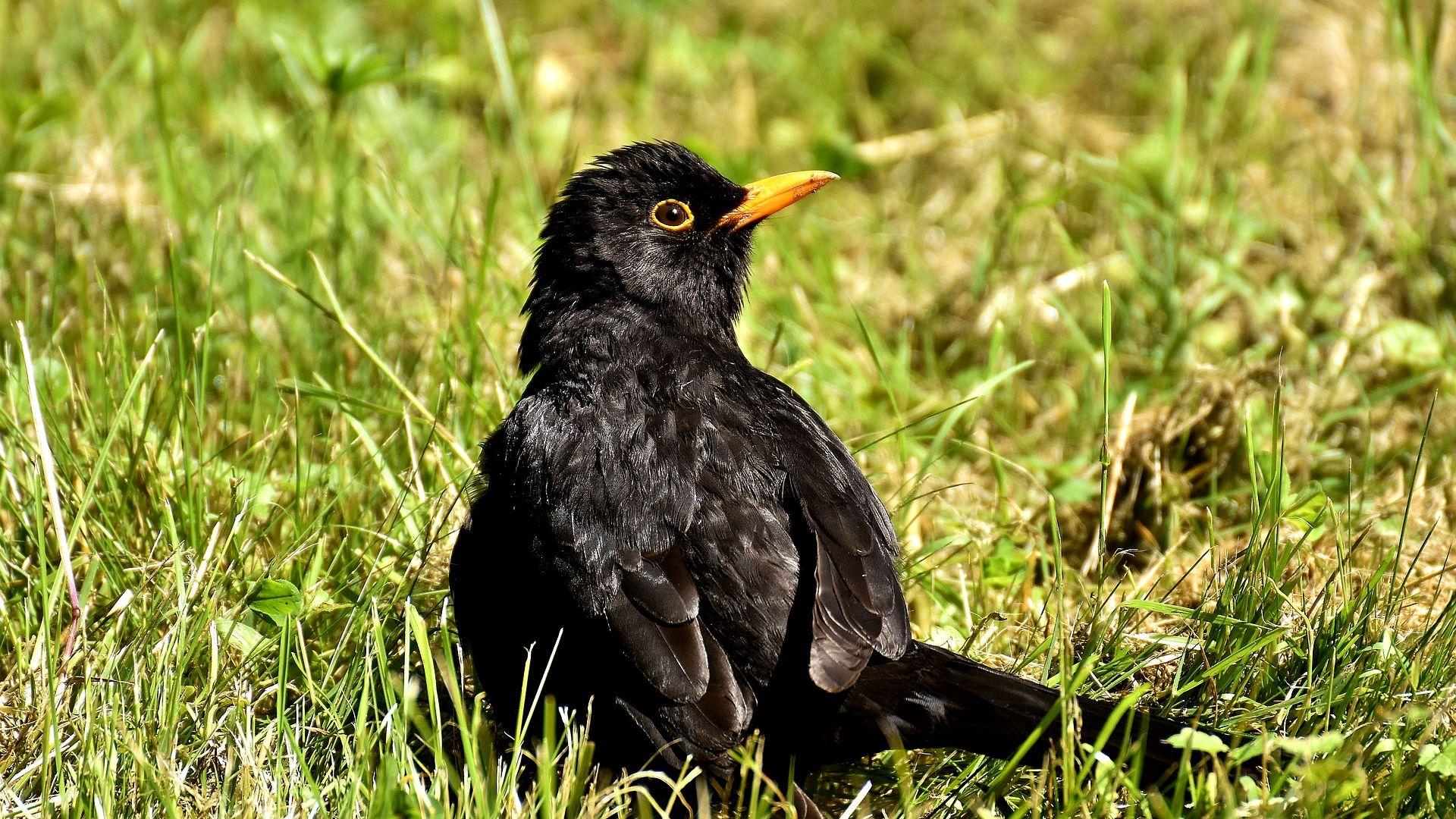 Wallpaper Songbirds, black bird, grass