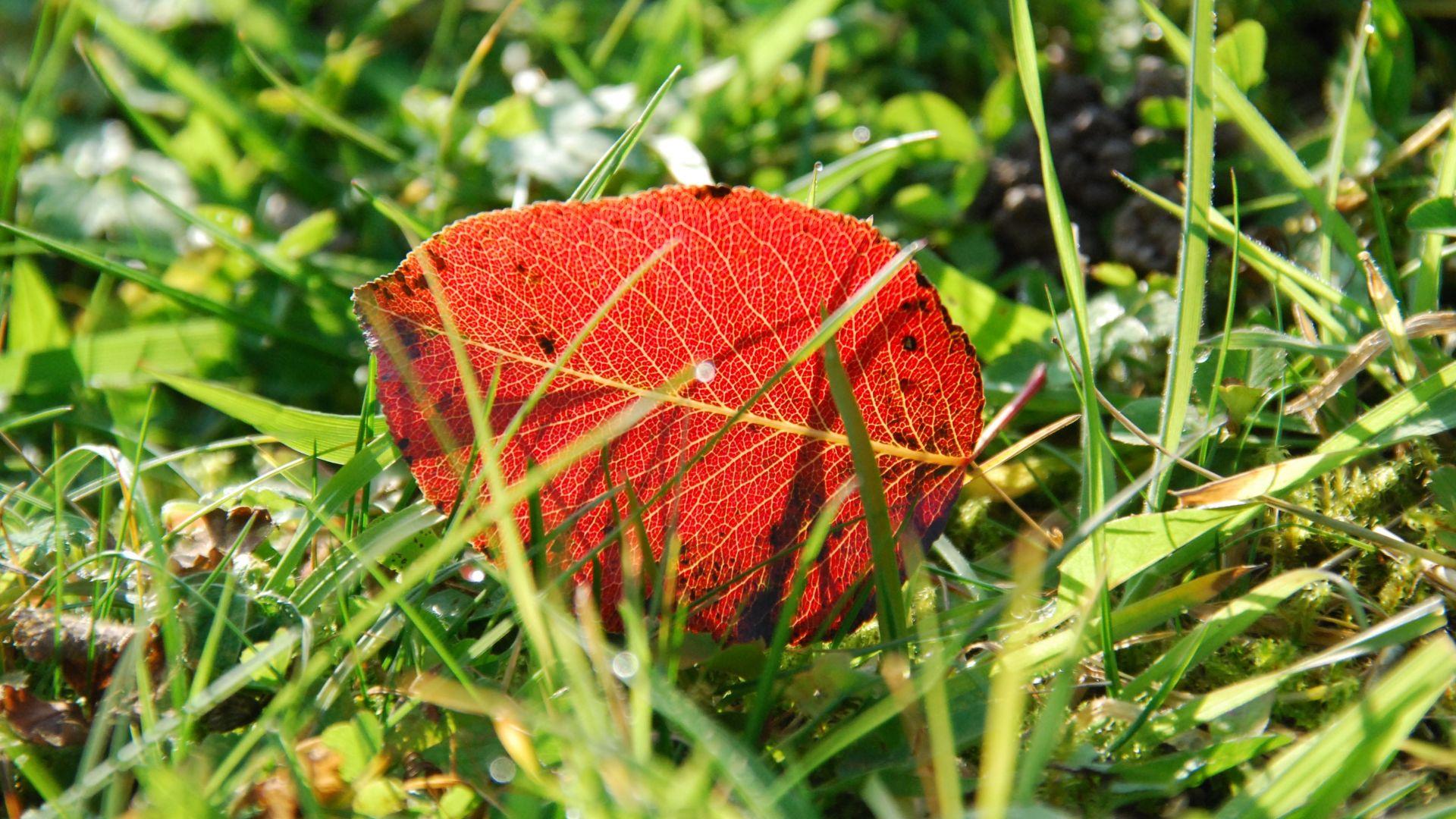Wallpaper Autumn, leaf, fall, grass