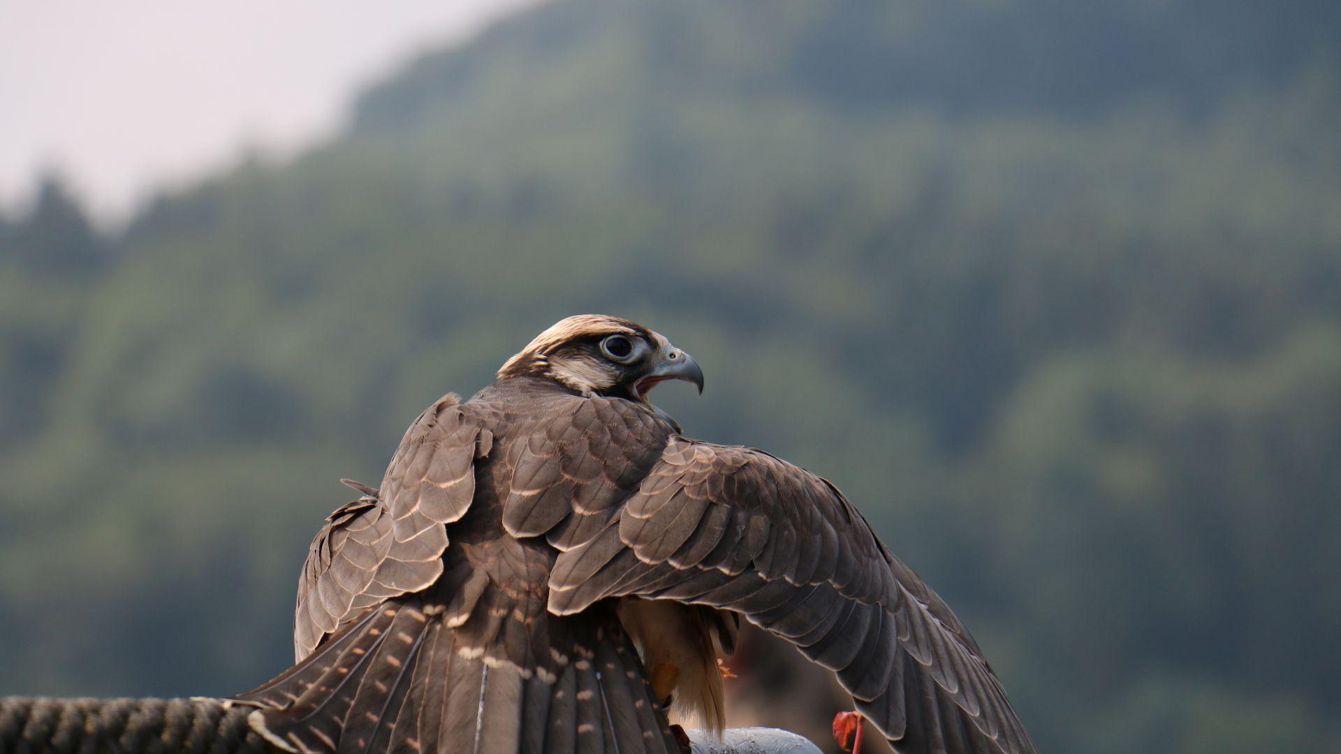 Wallpaper Falcon bird, raptor, birds