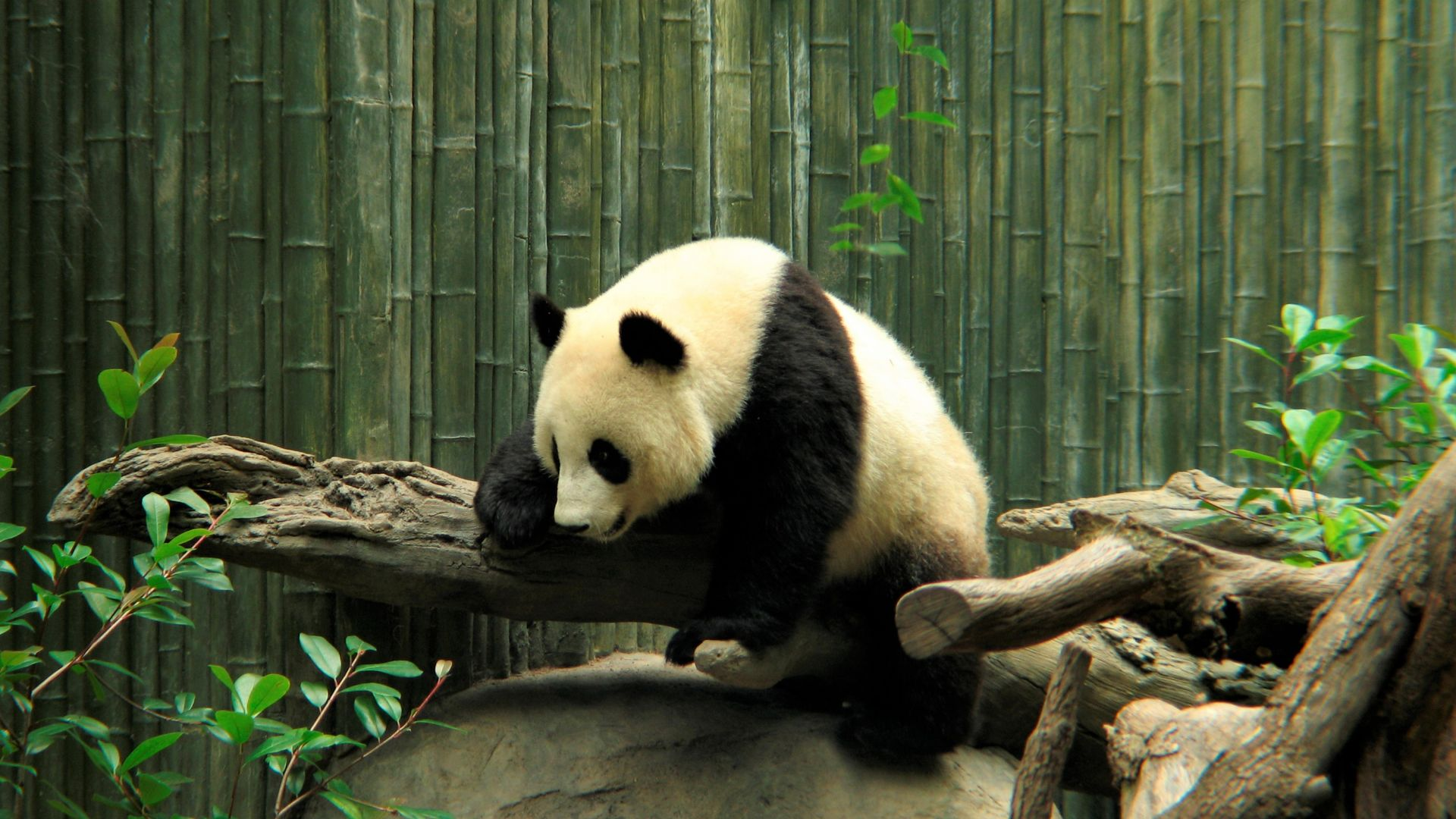 Wallpaper Wild animal, panda, spots, zoo