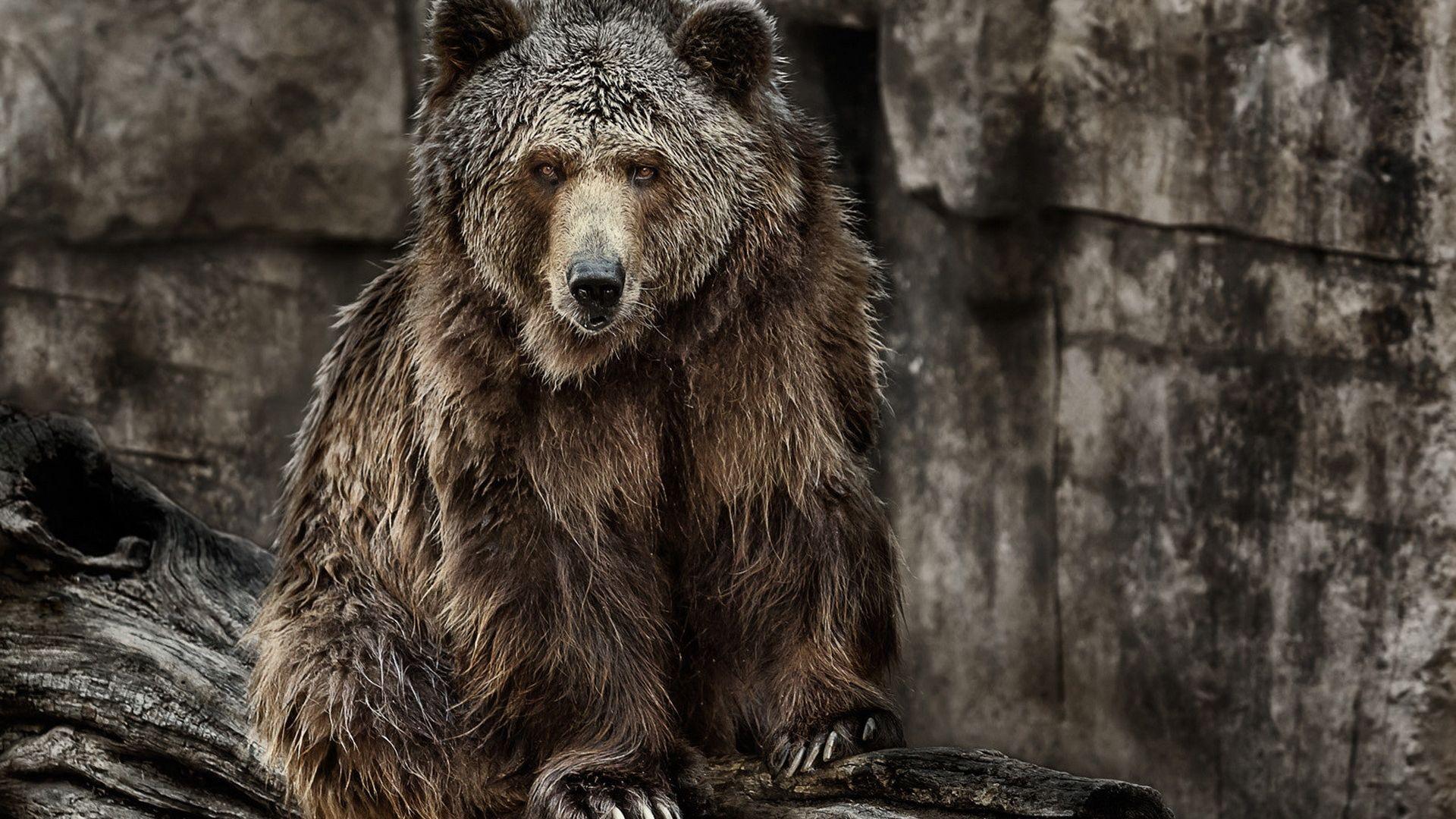 Wallpaper Bear, predator, wild animal, furry animals