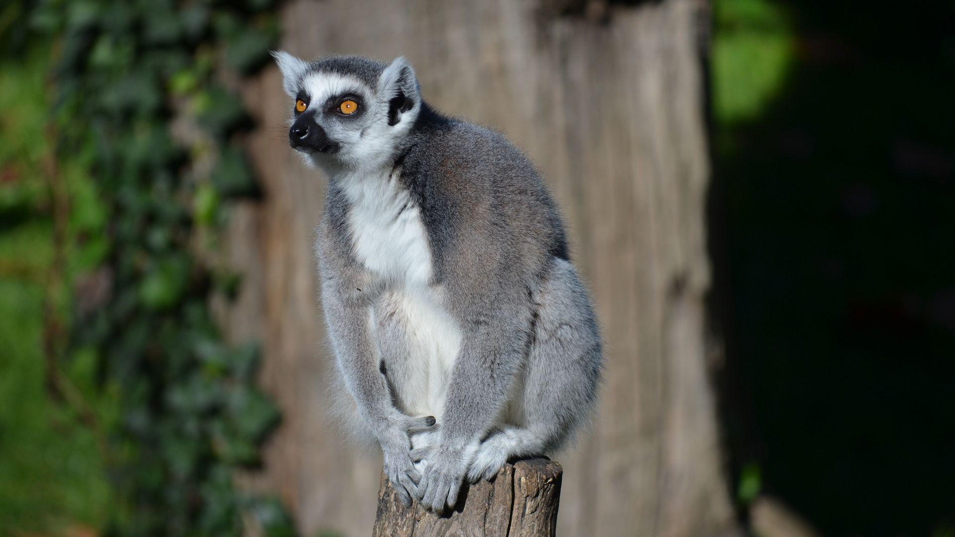 Wallpaper Ring-tailed lemur, animal, wild furry animal, sitting