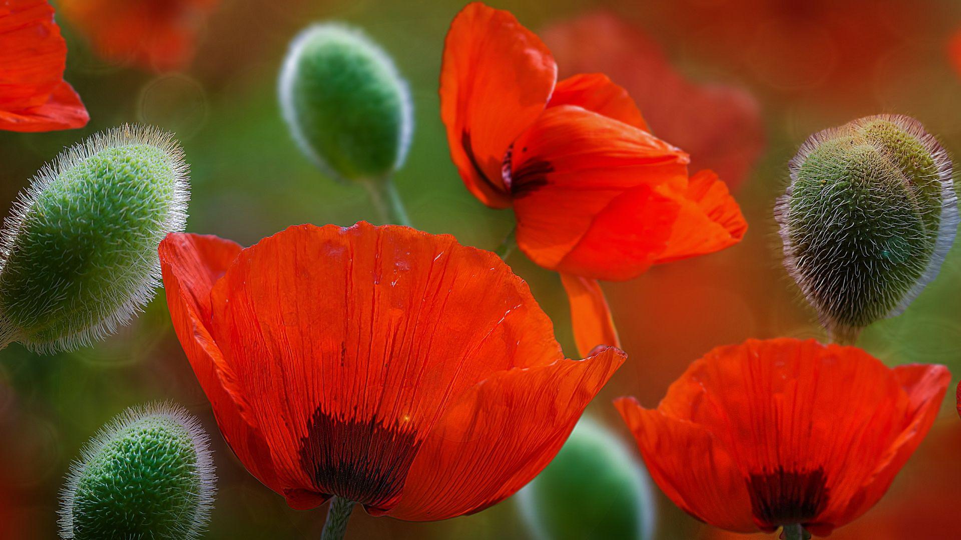 Desktop wallpaper beautiful poppy flowers hd image picture beautiful poppy flowers wallpaper mightylinksfo