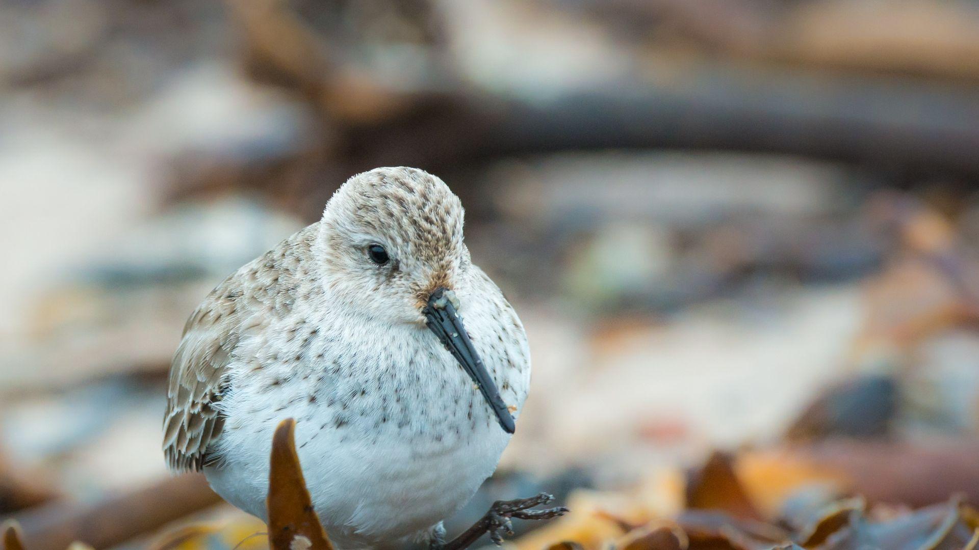 Wallpaper Sanderling, small bird, blur