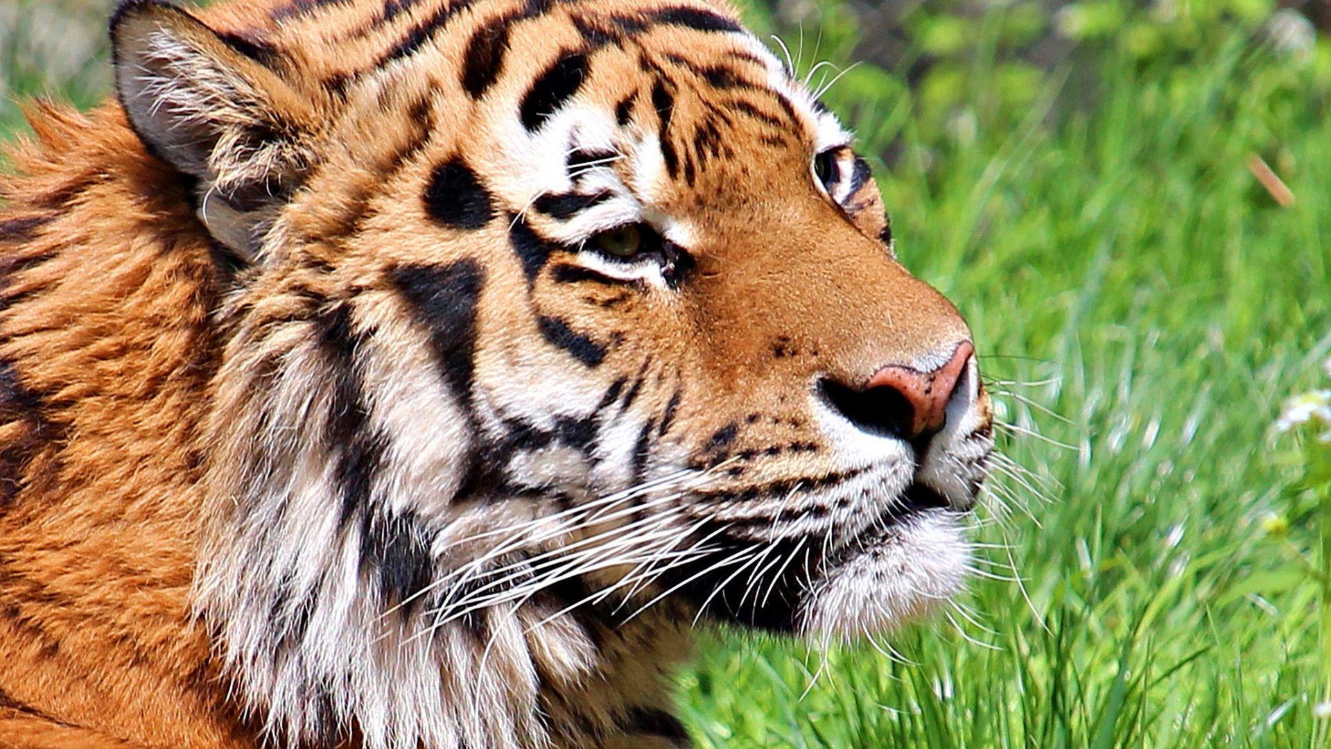 Wallpaper Tiger muzzle, predator, wild animal