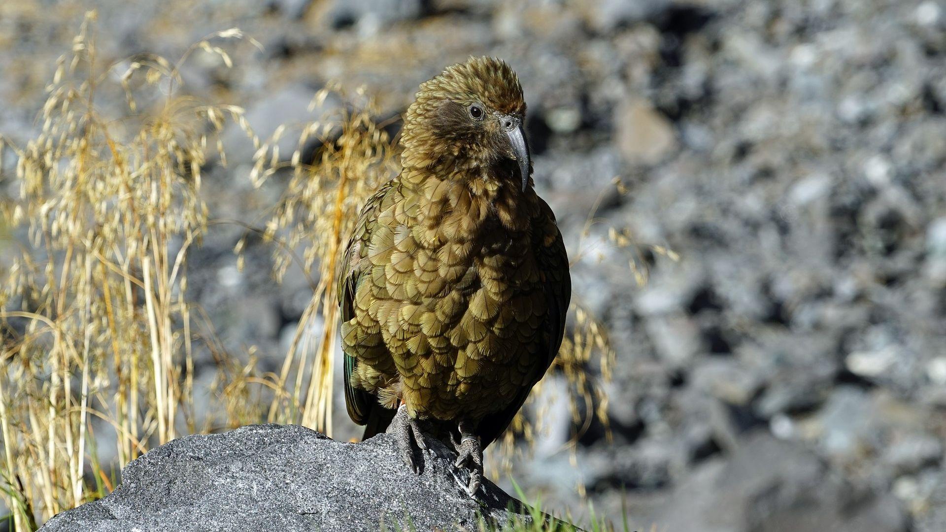 Wallpaper Kea bird, green parrot bird