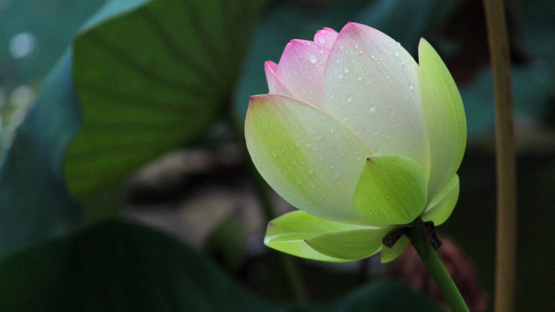 Wallpaper Bloom, rain, lotus bud
