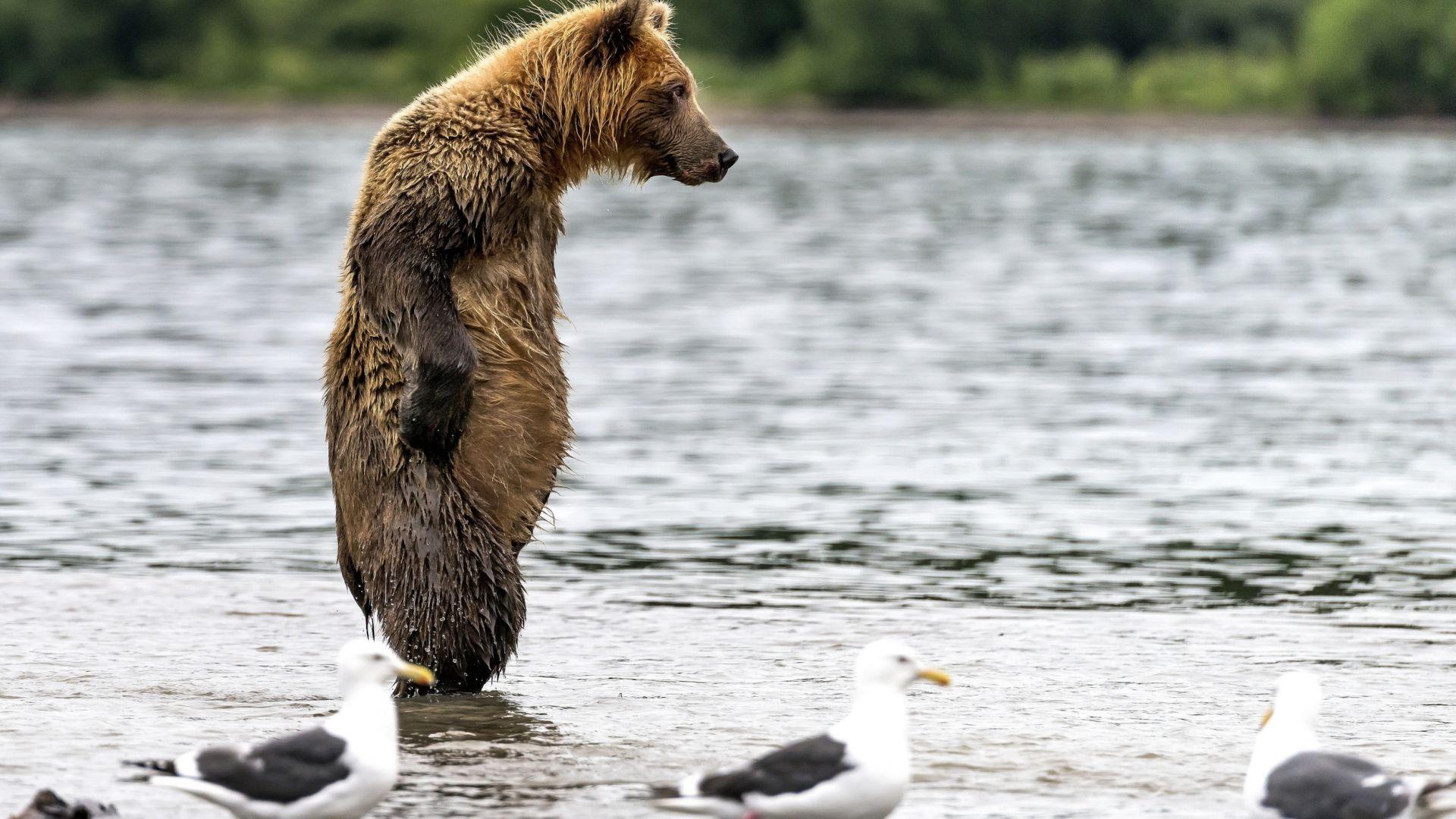 Wallpaper Standing bear, predator, gulls, birds
