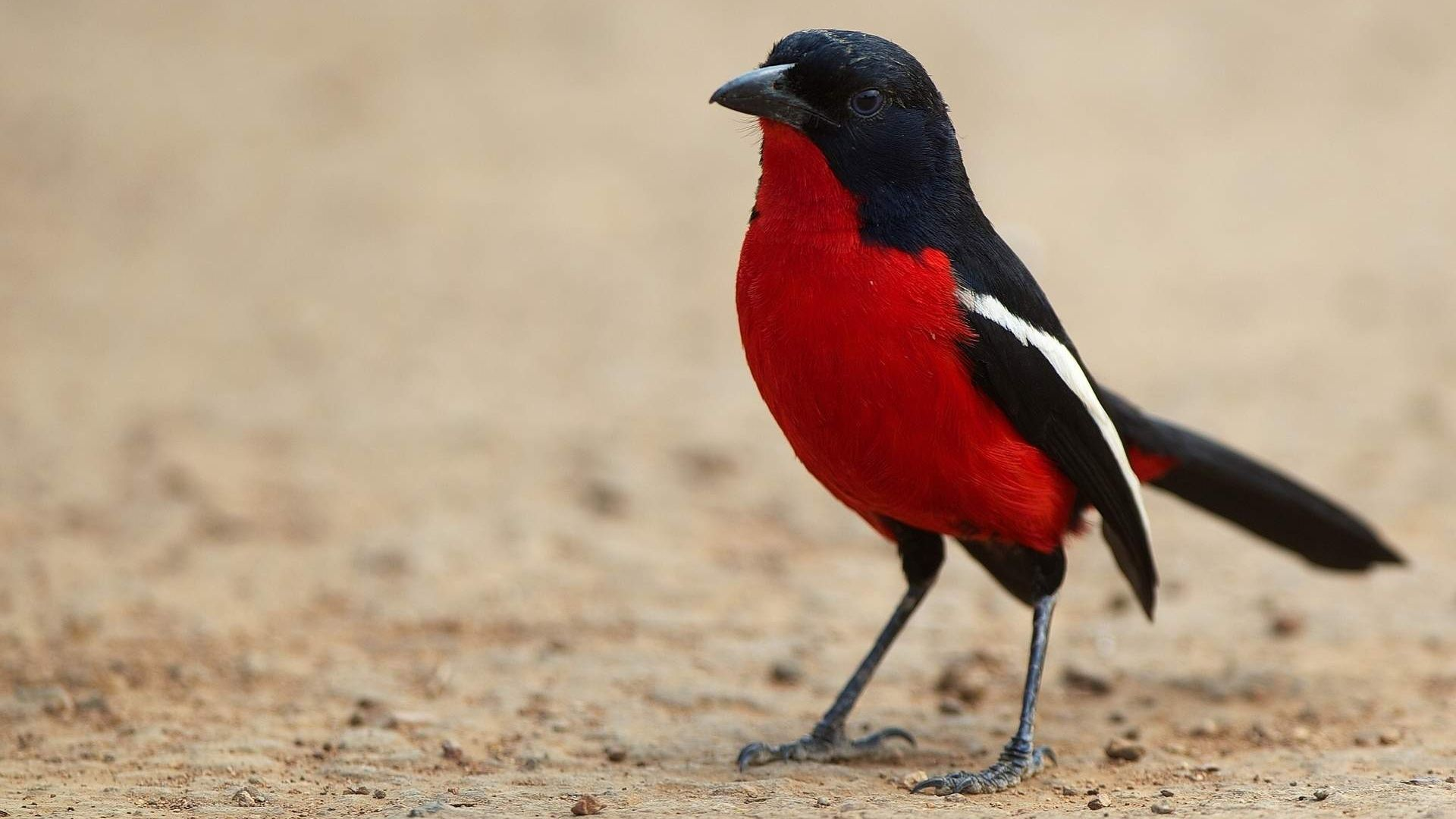 Wallpaper Red bird with black wings