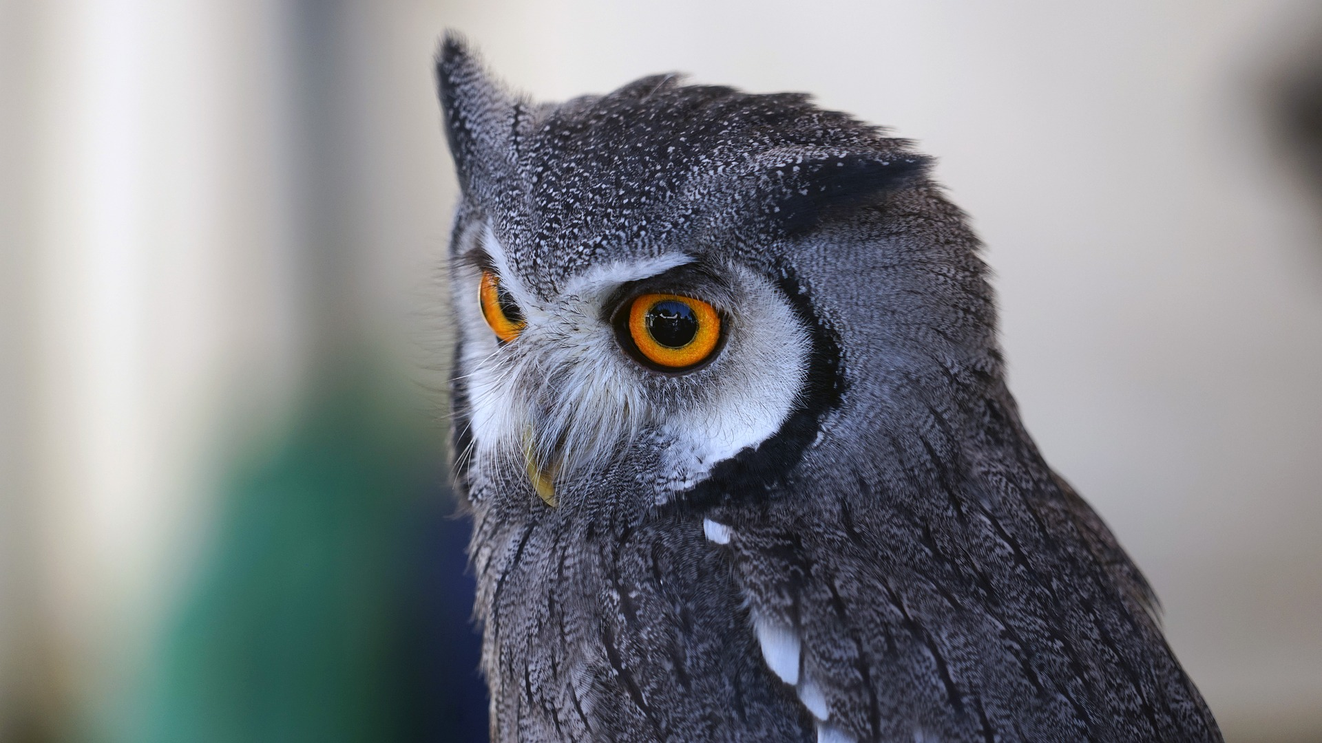 Wallpaper Owl, eyes, muzzle, bird, predator