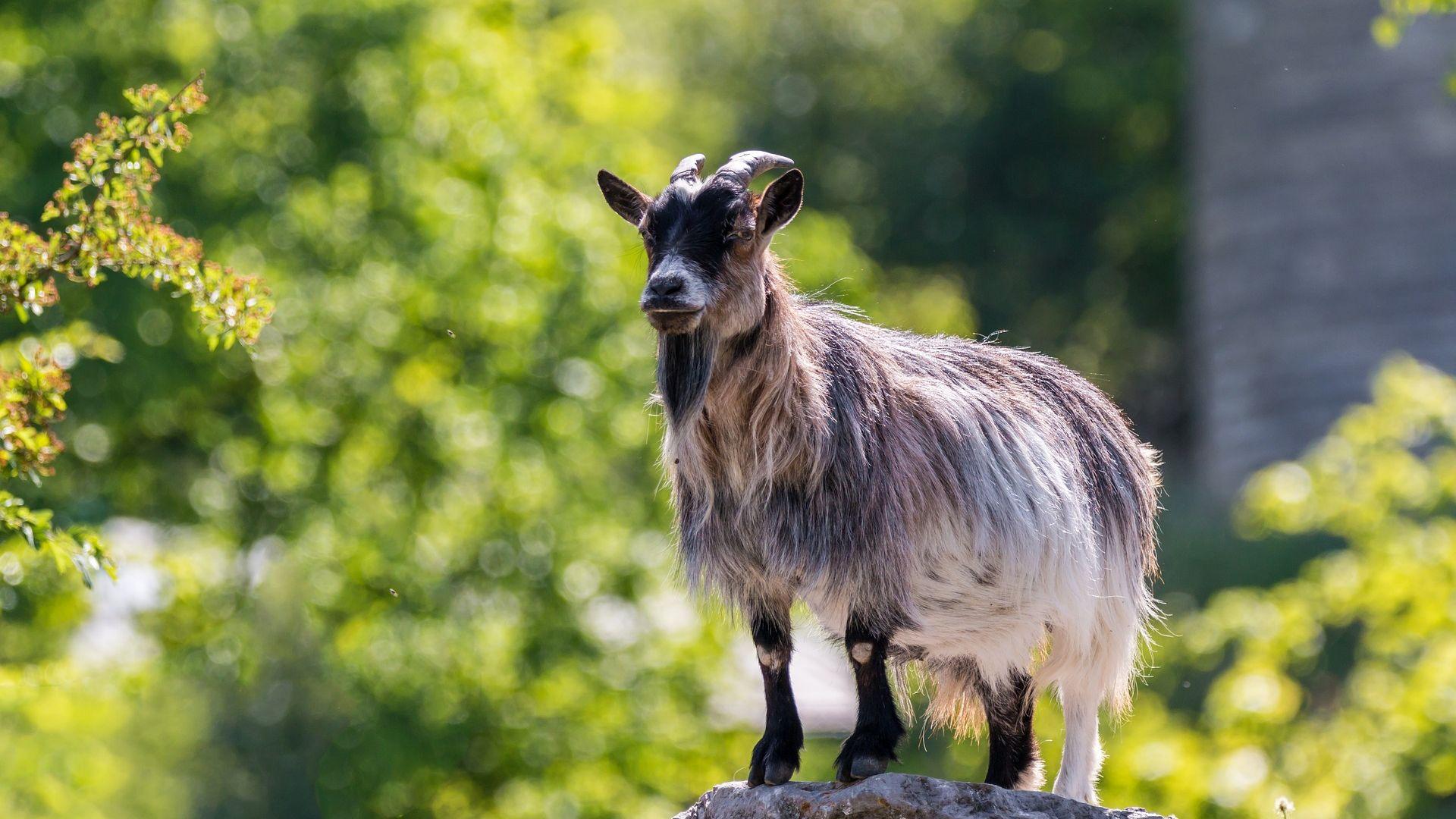 Wallpaper Mountain goat, stand, animal