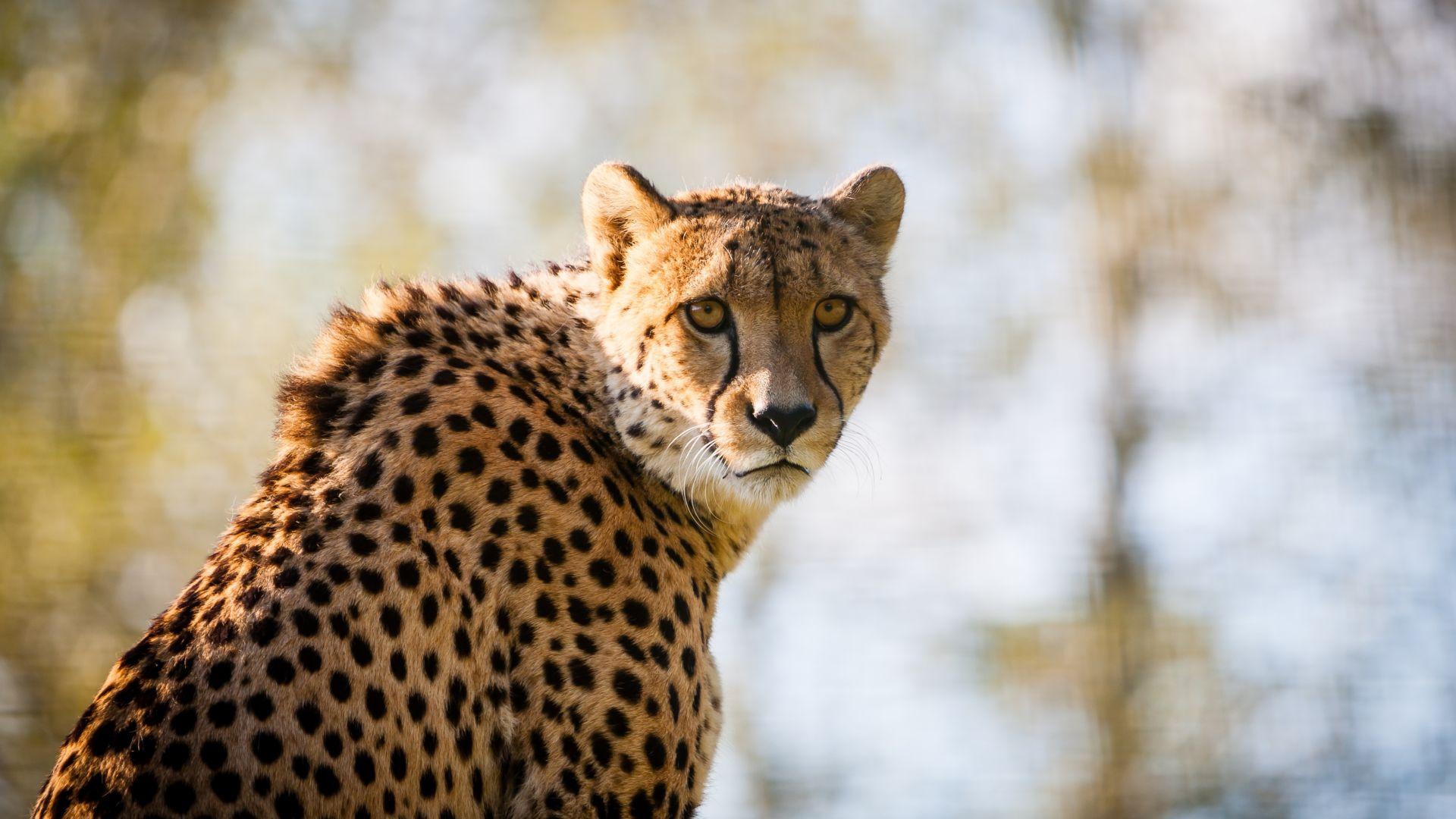 Wallpaper Cheetah predator big cat spotted