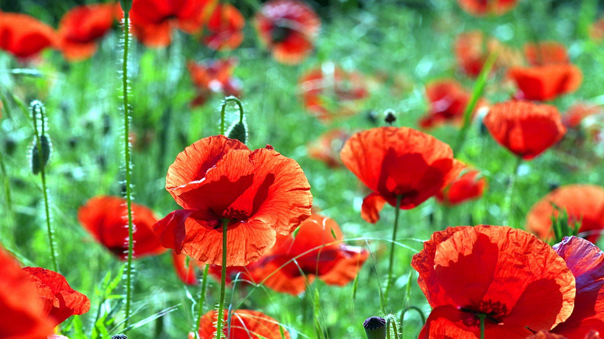 Wallpaper Poppies, red flowers farm, meadow